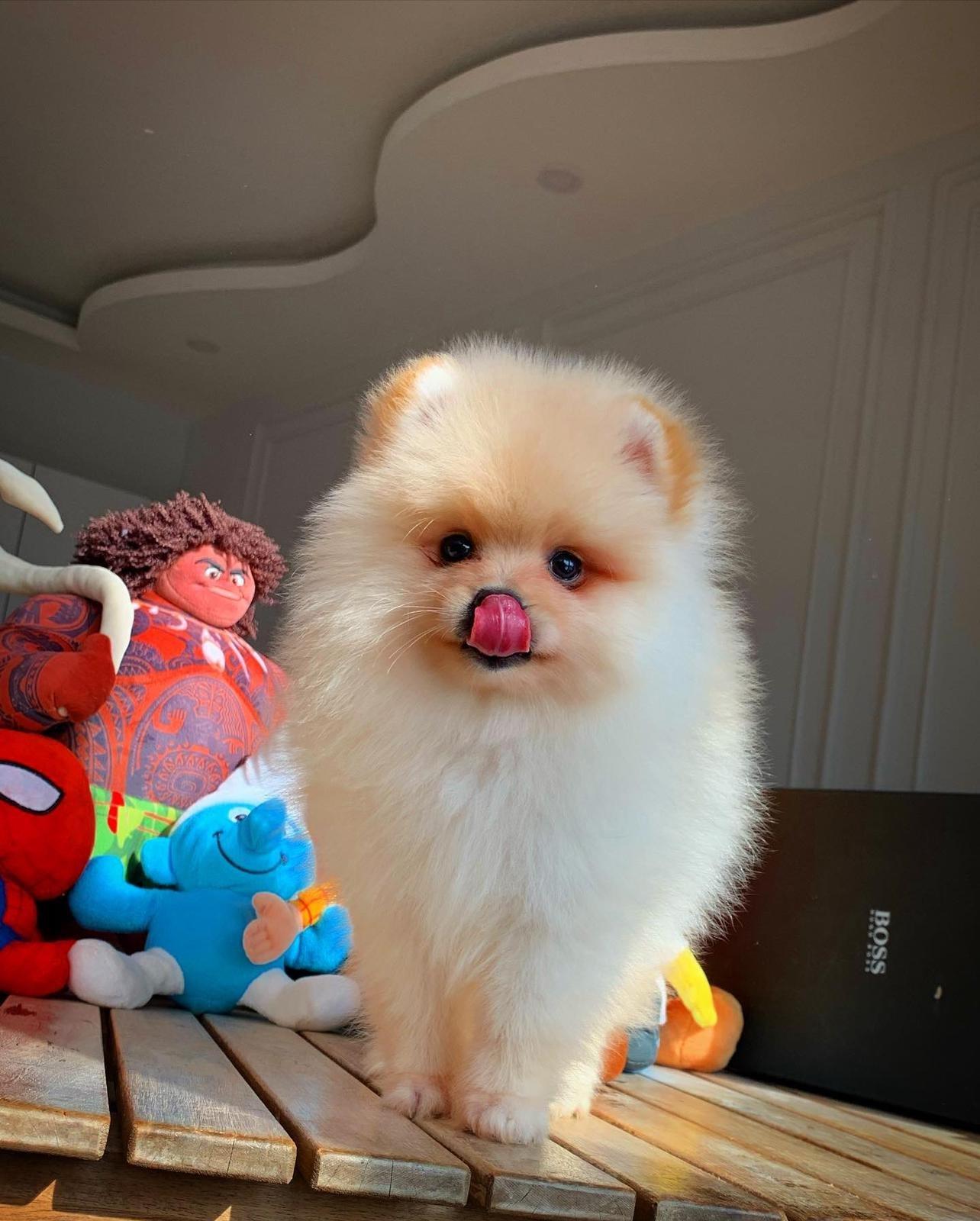 Başlangıç Seviyesi Tuvalet Eğitimli PomeranianBoo 2