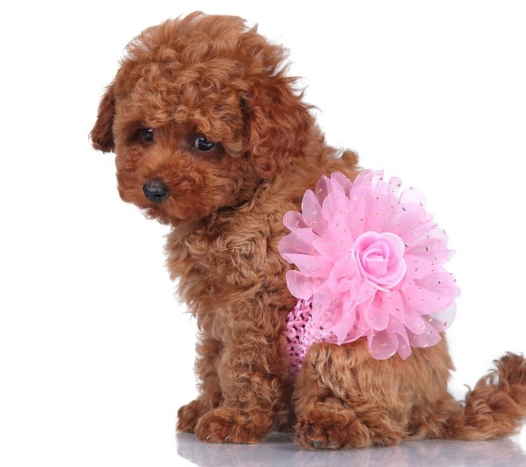 Satılık Toy Poodle Yavruları Çiftlikten 1