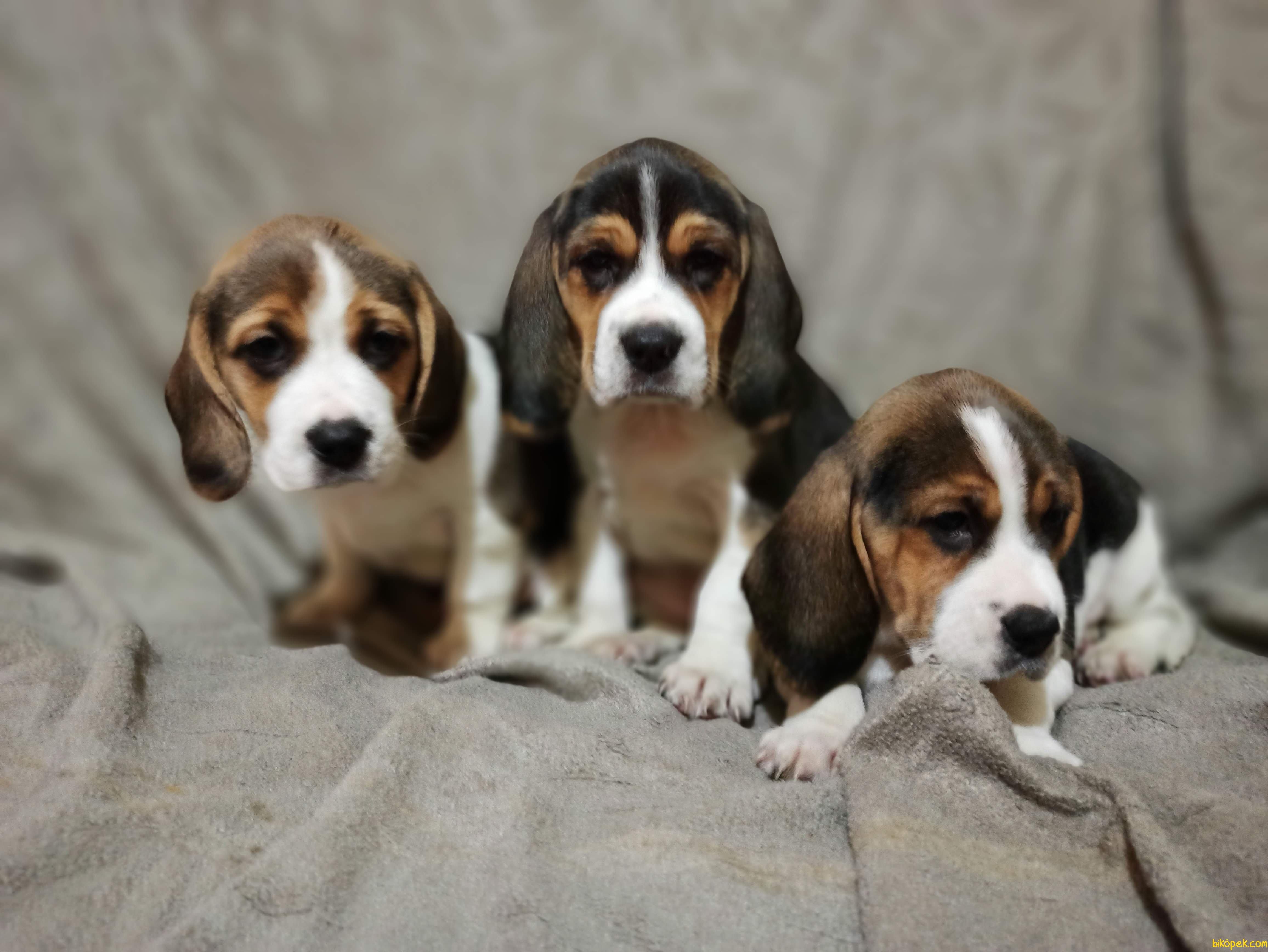 Beagle Yavrularımız 5