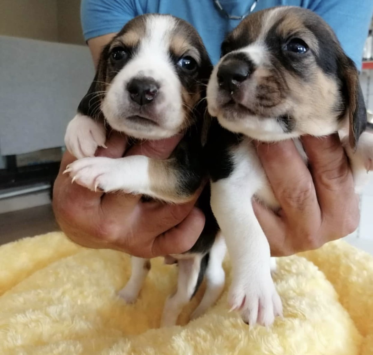 Beagle Yavrularımız 1