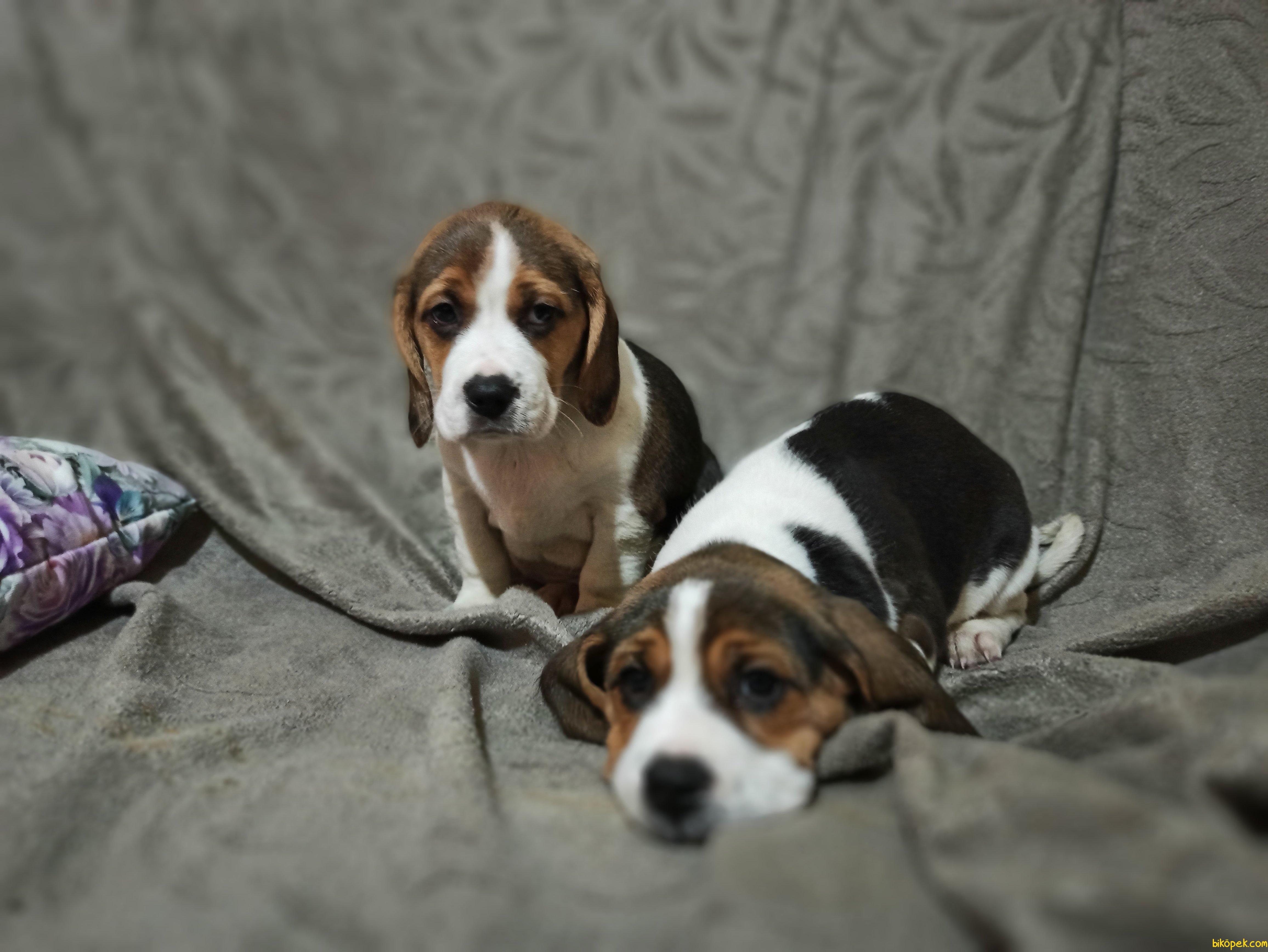 Beagle Yavrularımız 3