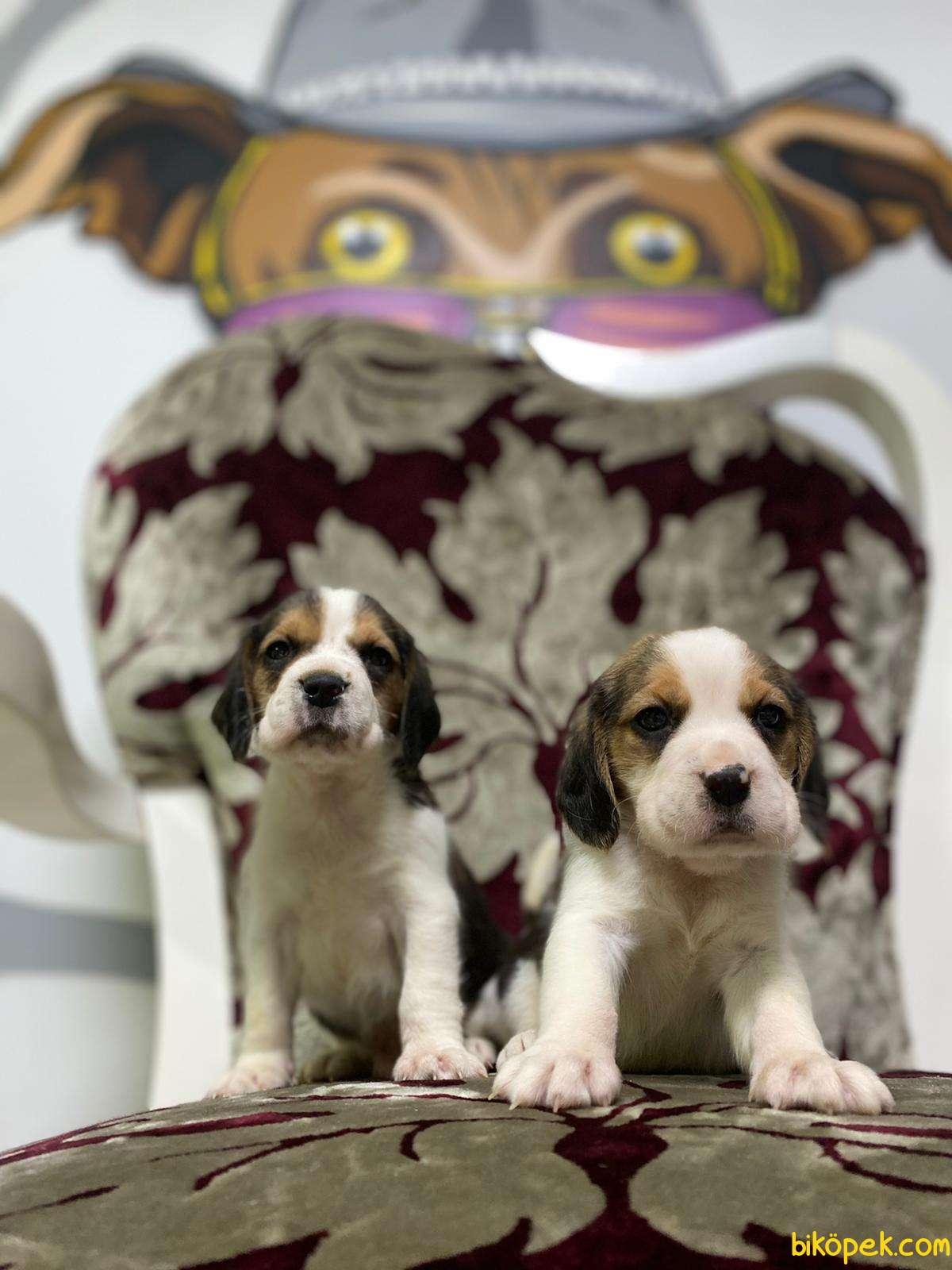 Beagle Yavrularimiz Irk Ve Saglik Garantili Aşili Karneli 3