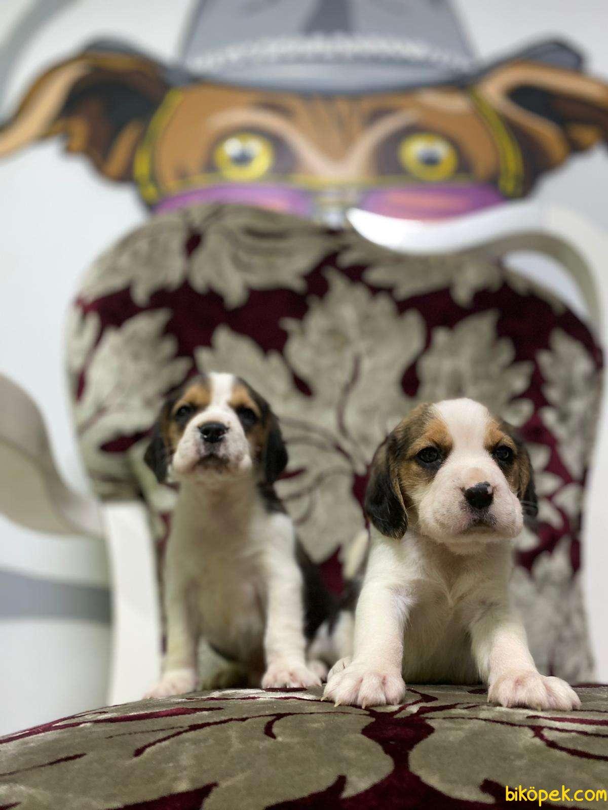 Beagle Yavrularimiz Irk Ve Saglik Garantili Aşili Karneli 4