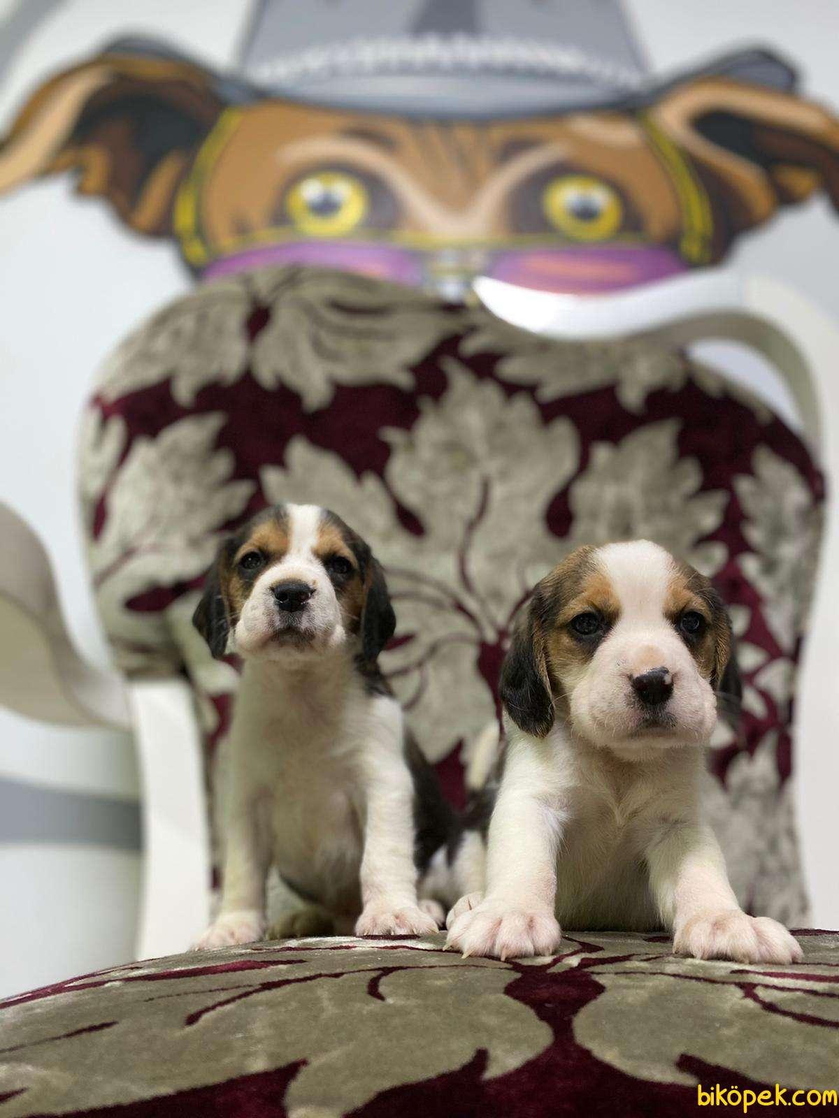 Beagle Yavrularimiz Irk Ve Saglik Garantili Aşili Karneli 2