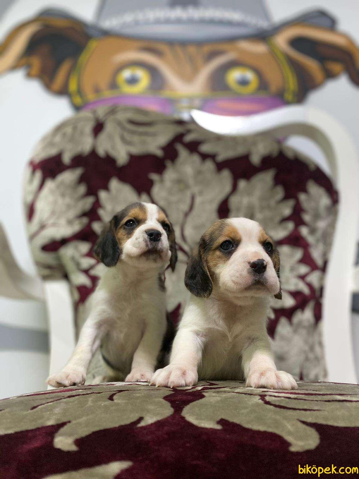 Beagle Yavrularimiz Irk Ve Saglik Garantili Aşili Karneli 5