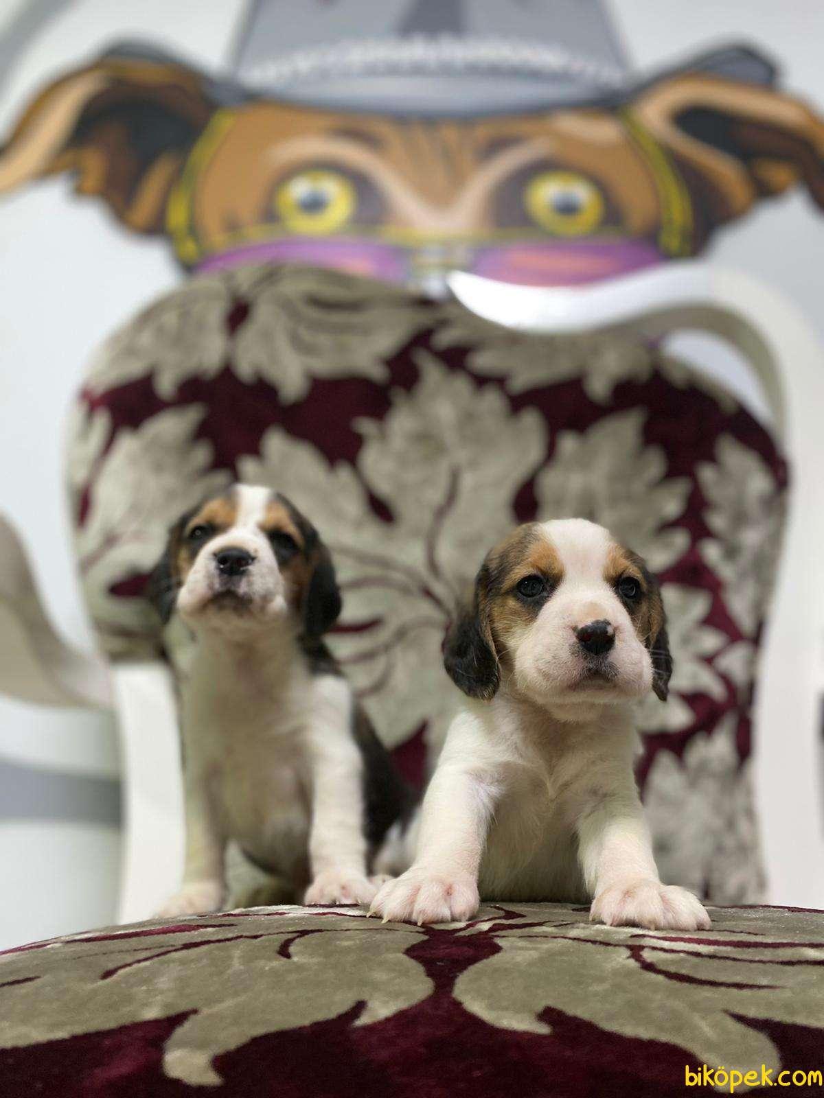 Beagle Yavrularimiz Irk Ve Saglik Garantili Aşili Karneli 1