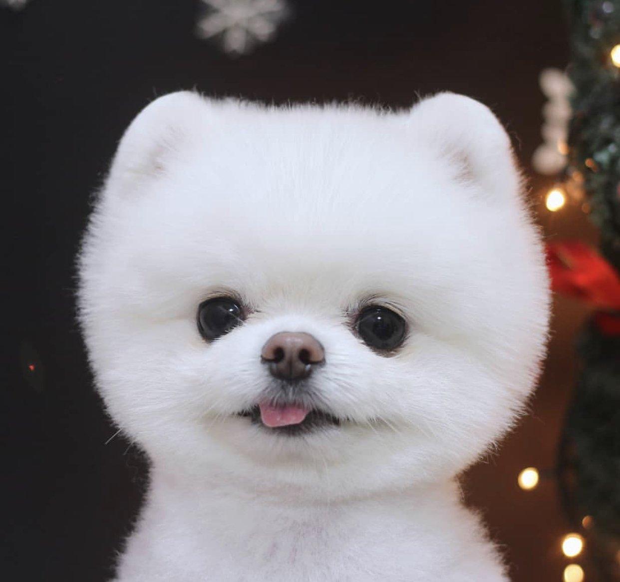 Bembeyaz A Kalite Pomeranian 2