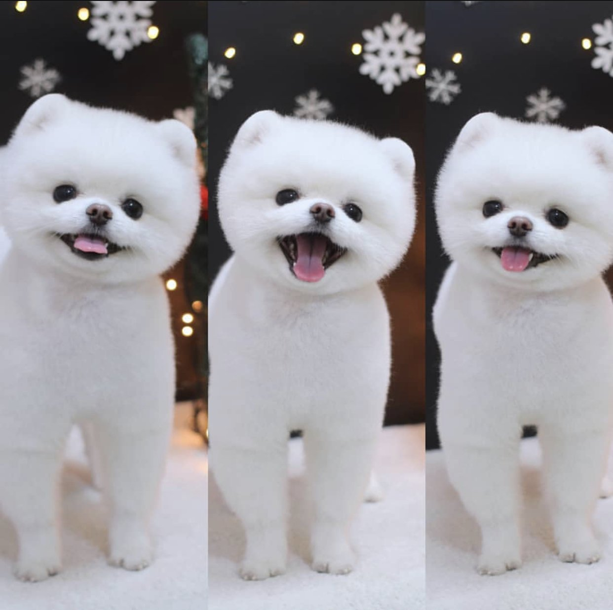 Bembeyaz A Kalite Pomeranian 1