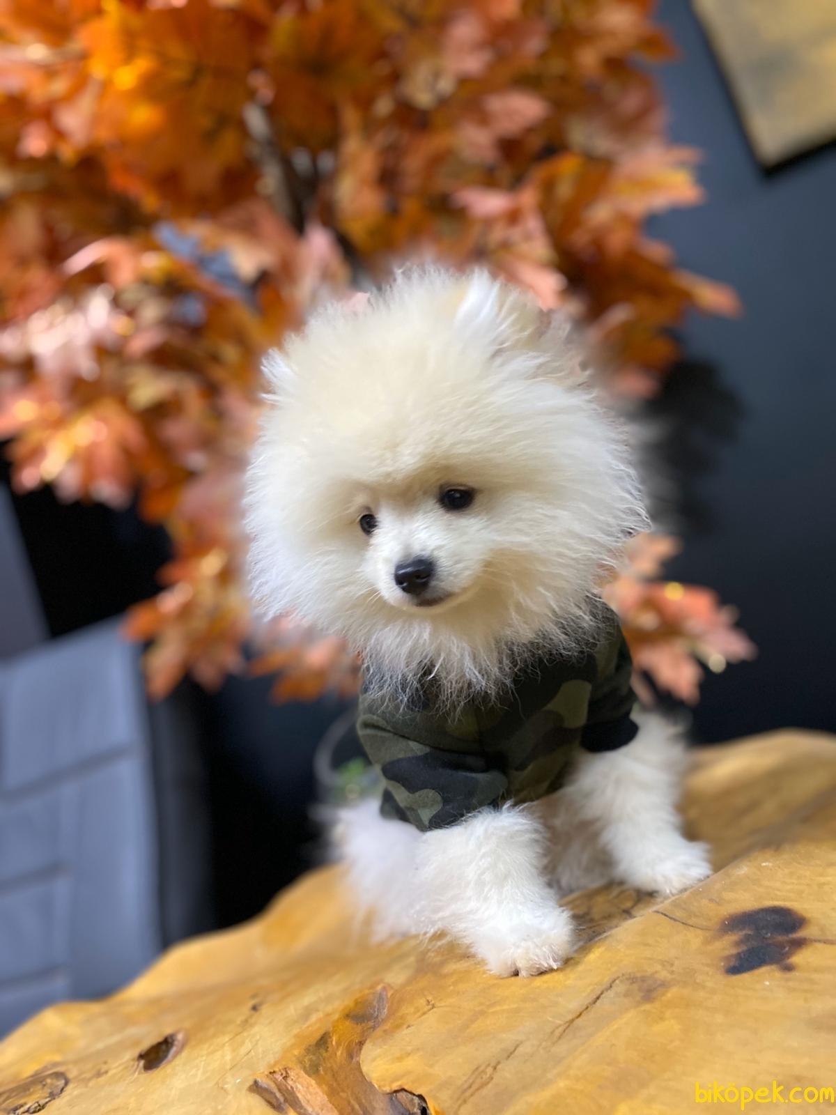 A Kalite Pomeranian Yavrularımız 2