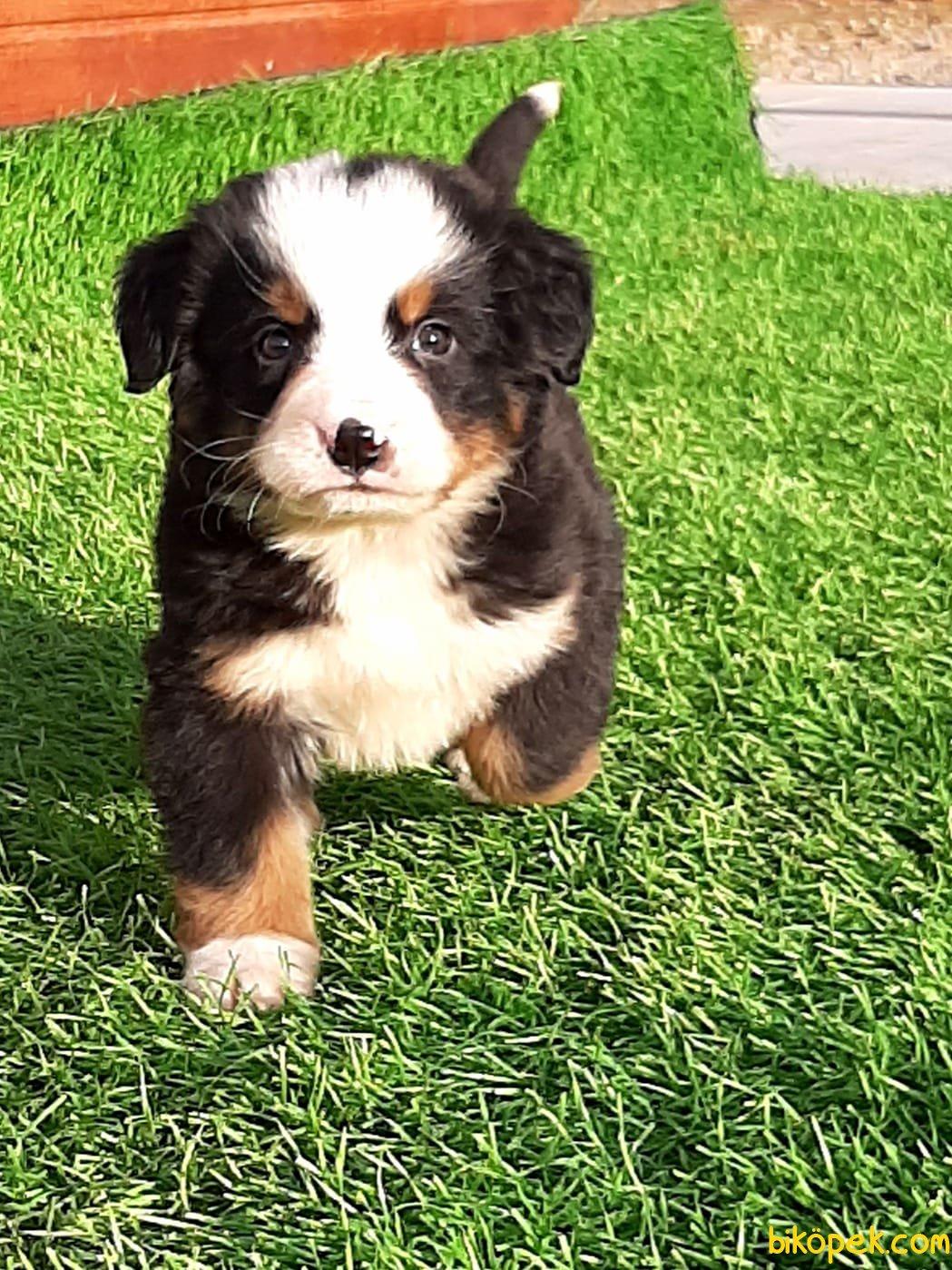 BERNESE MOUNTAIN DOG YAVRULARI 1