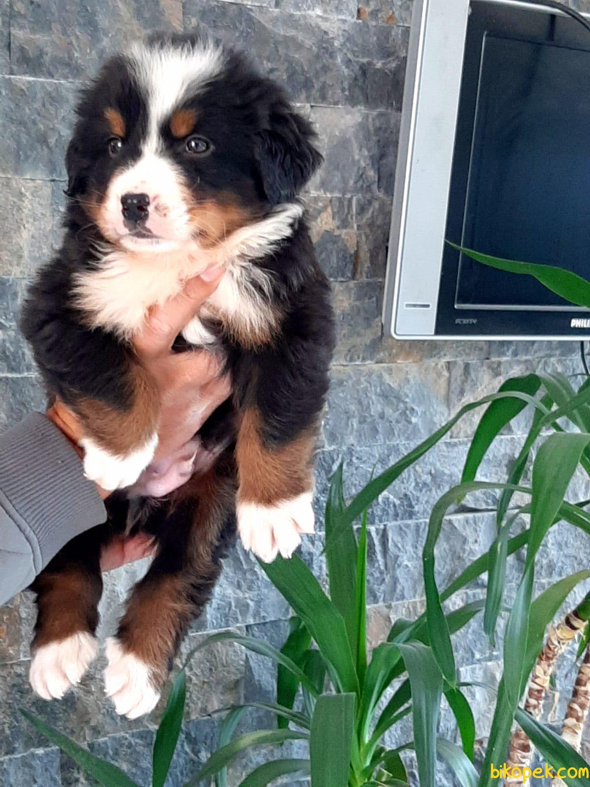 BERNESE MOUNTAIN DOG YAVRULARI 2