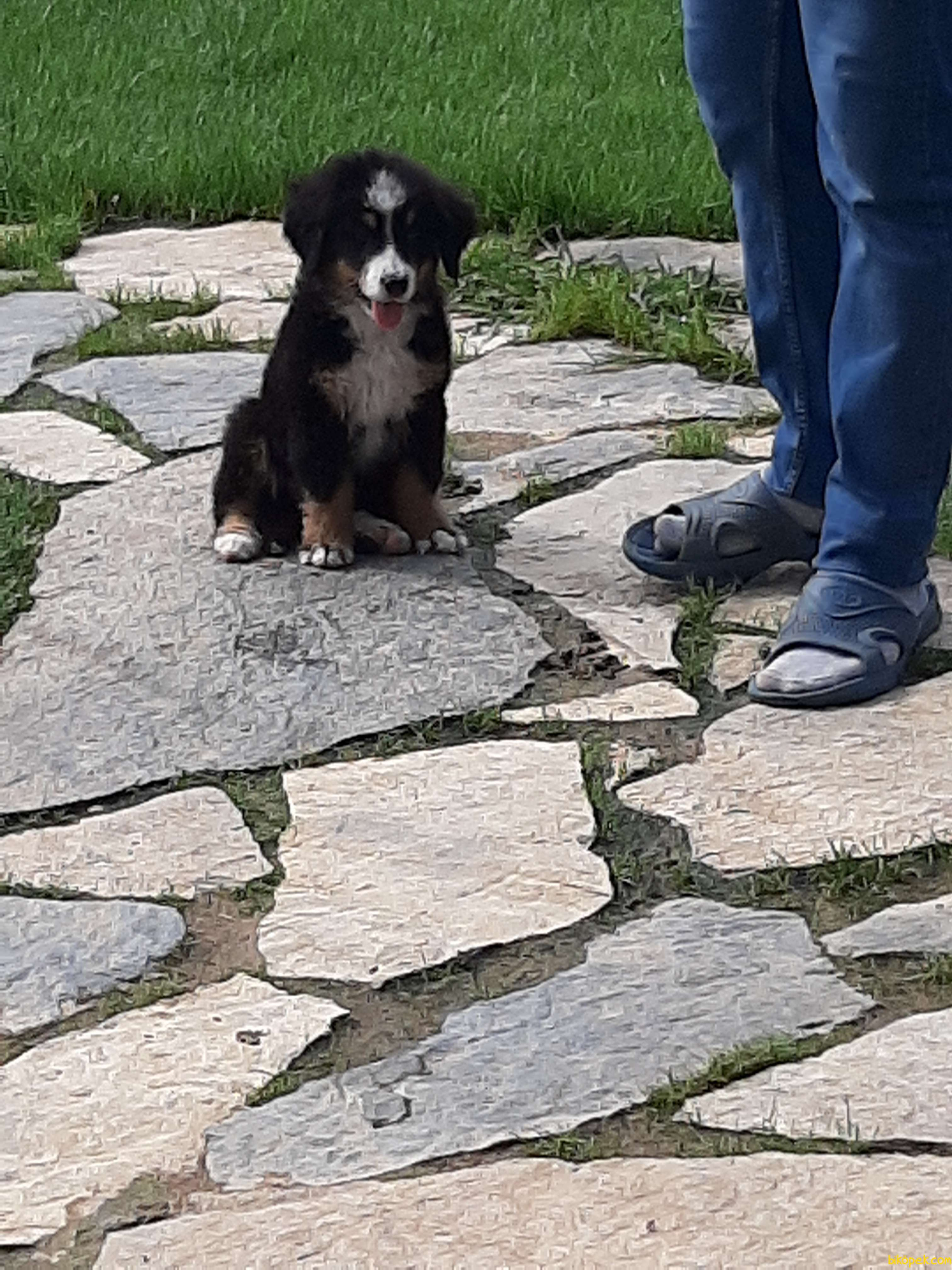 Bernese Mountain Dog Yavruları 5