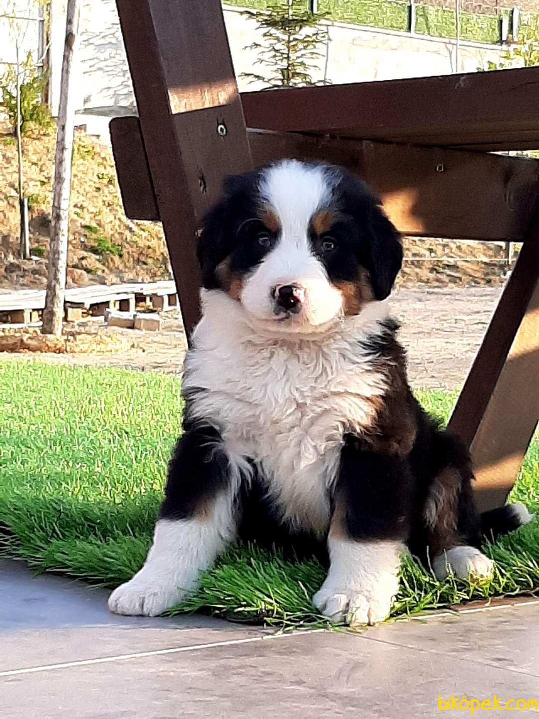 BERNESE MOUNTAIN DOG YAVRULARIMIZ 2