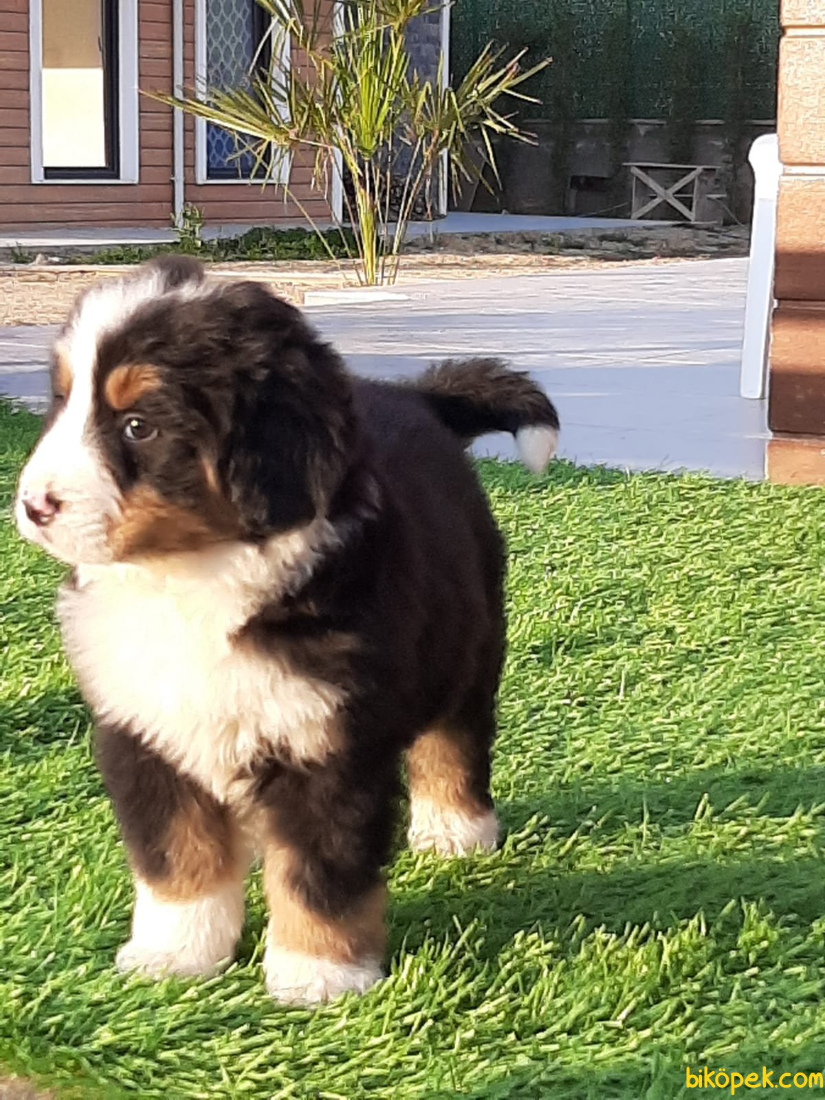 BERNESE MOUNTAIN DOG YAVRULARIMIZ 4
