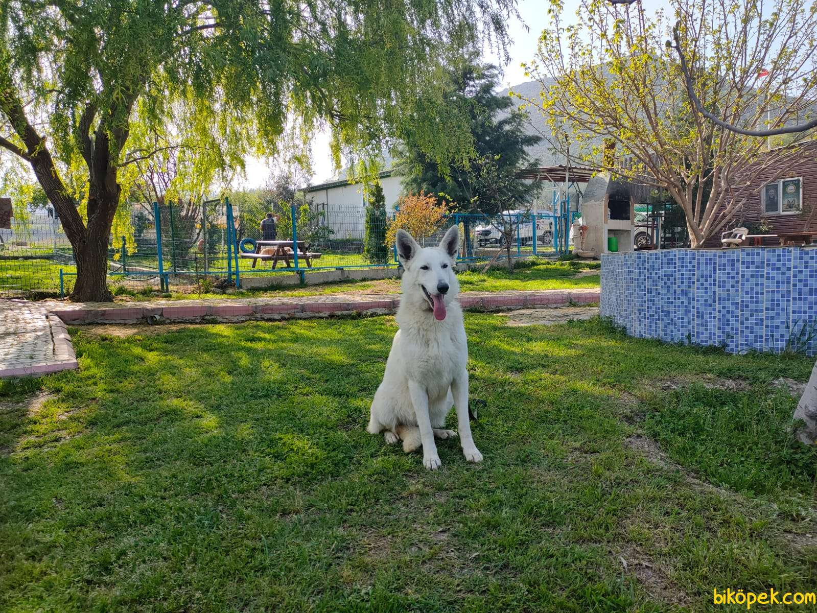 Beyaz Alman Çoban Köpeği 2