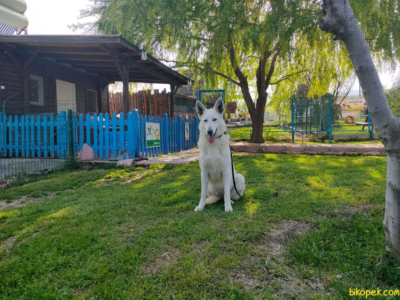 Beyaz Alman Çoban Köpeği 3
