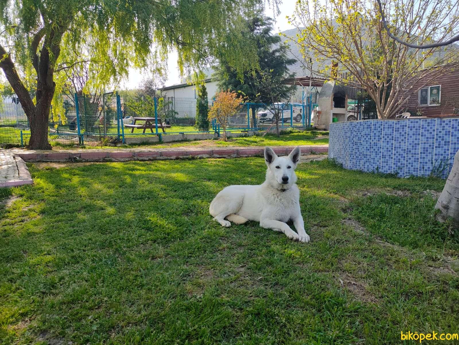 Beyaz Alman Çoban Köpeği 1