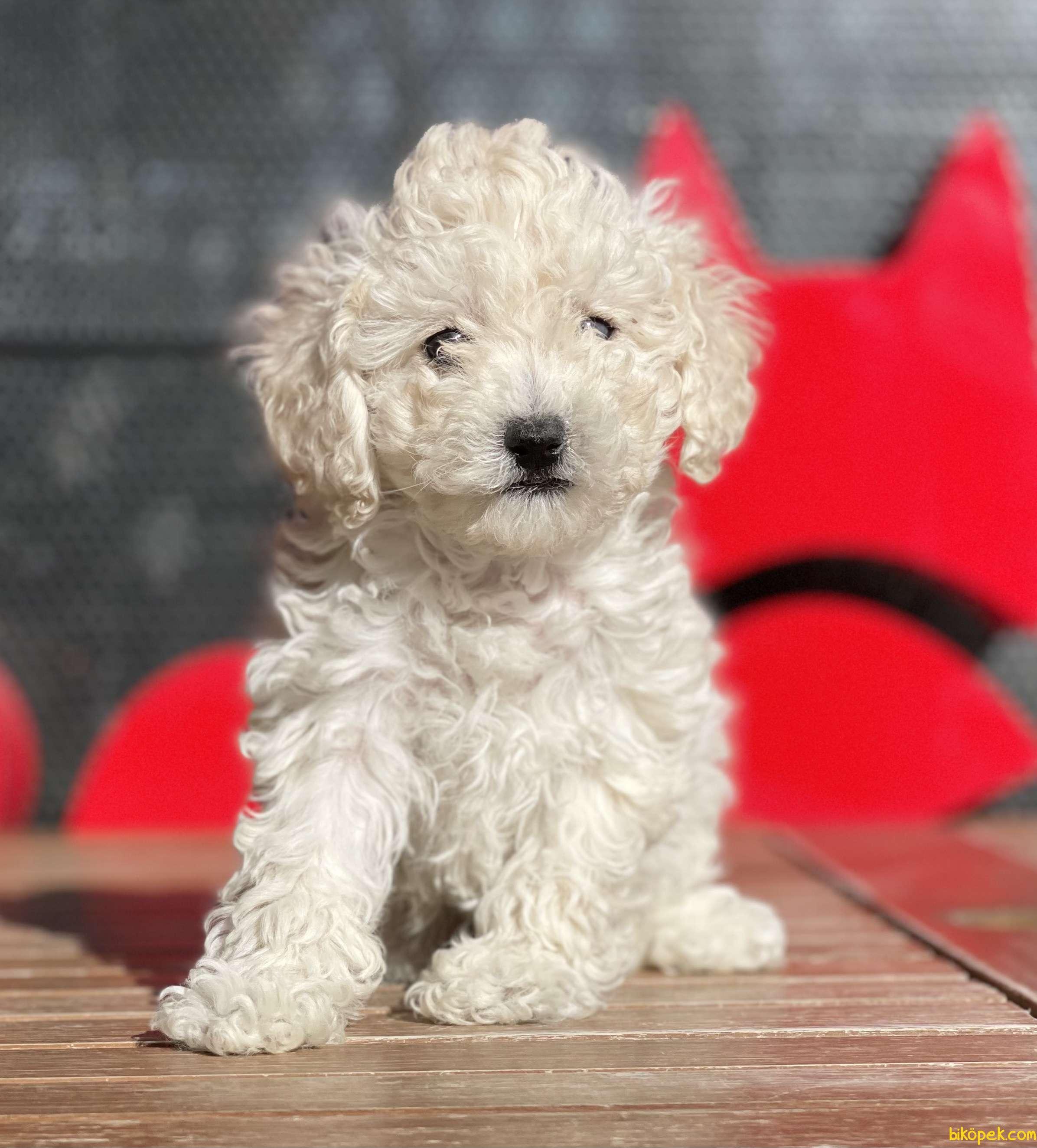 Beyaz Renk Toy Poodle Yavruları Scr Li 1