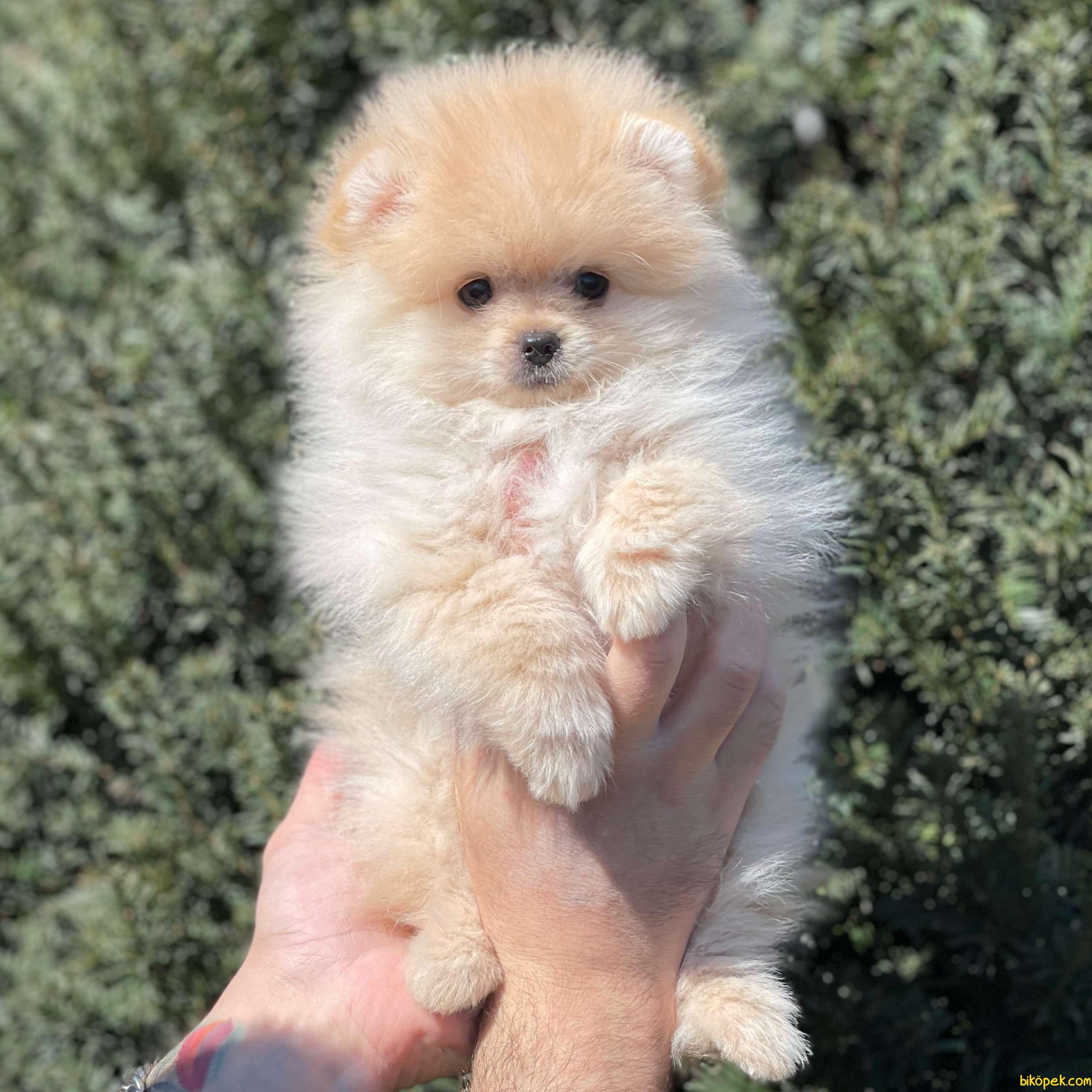 Birbirinden Güzel Dişi Erkek Pomeranian Bi Yavrular 1
