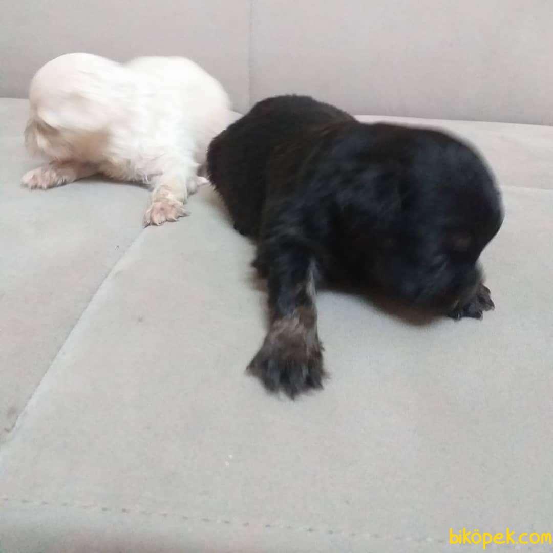 Black And White Pekingese Yavrular 4