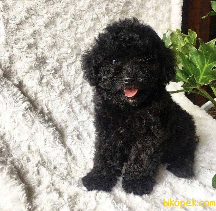Black Poodle Yavrularimiz İrkinin En İyisi 3