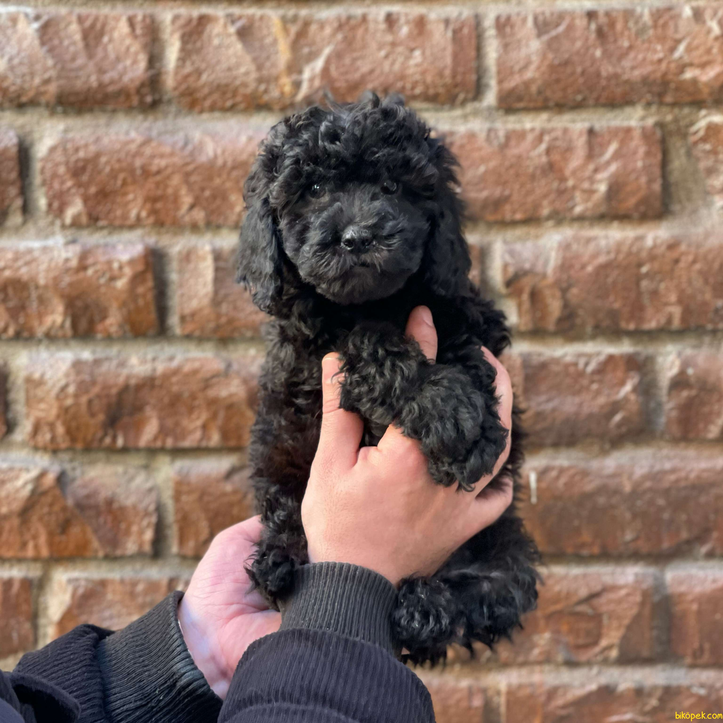 Black Toy Poodle Erkek Yavrularımız 1
