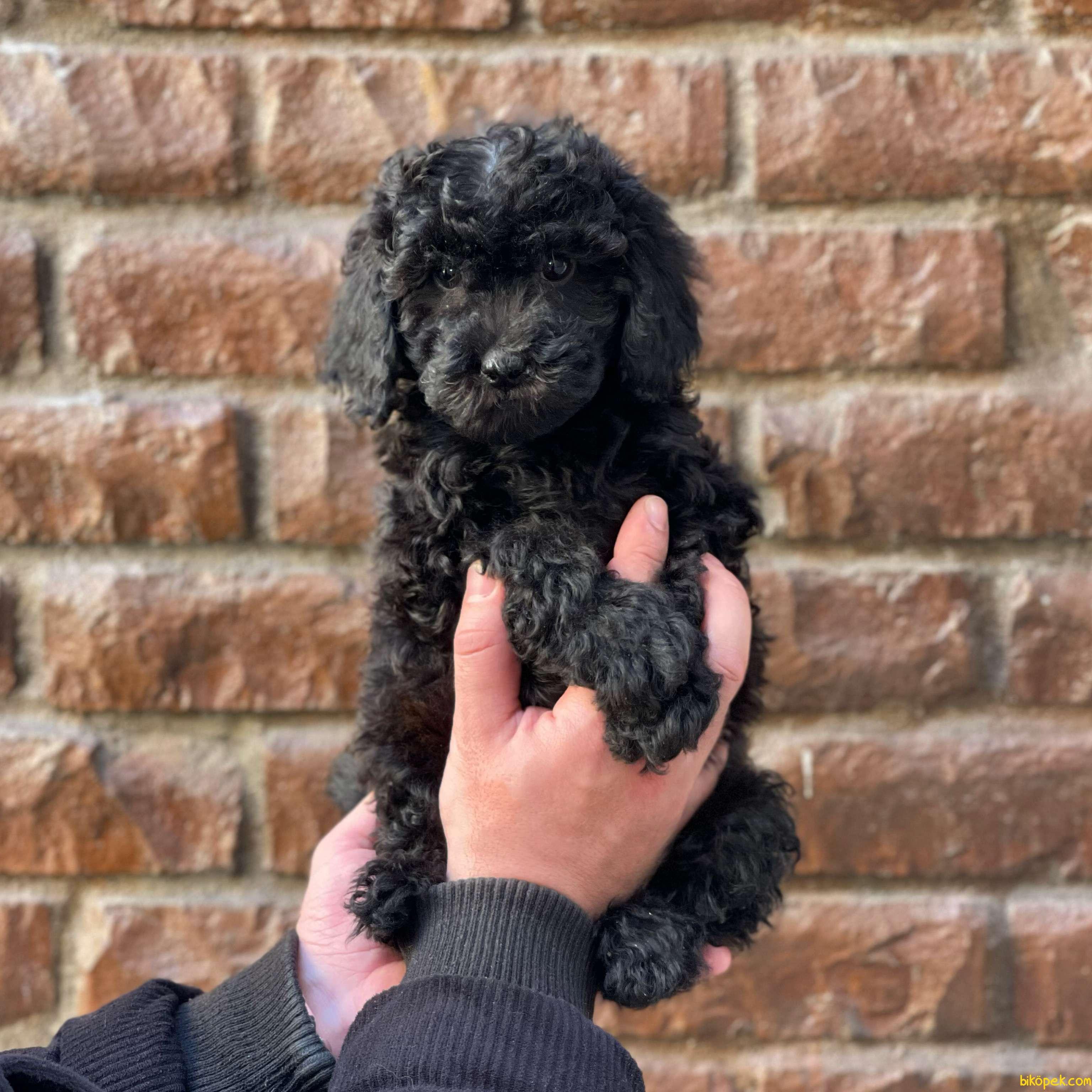 Black Toy Poodle Erkek Yavrularımız 3