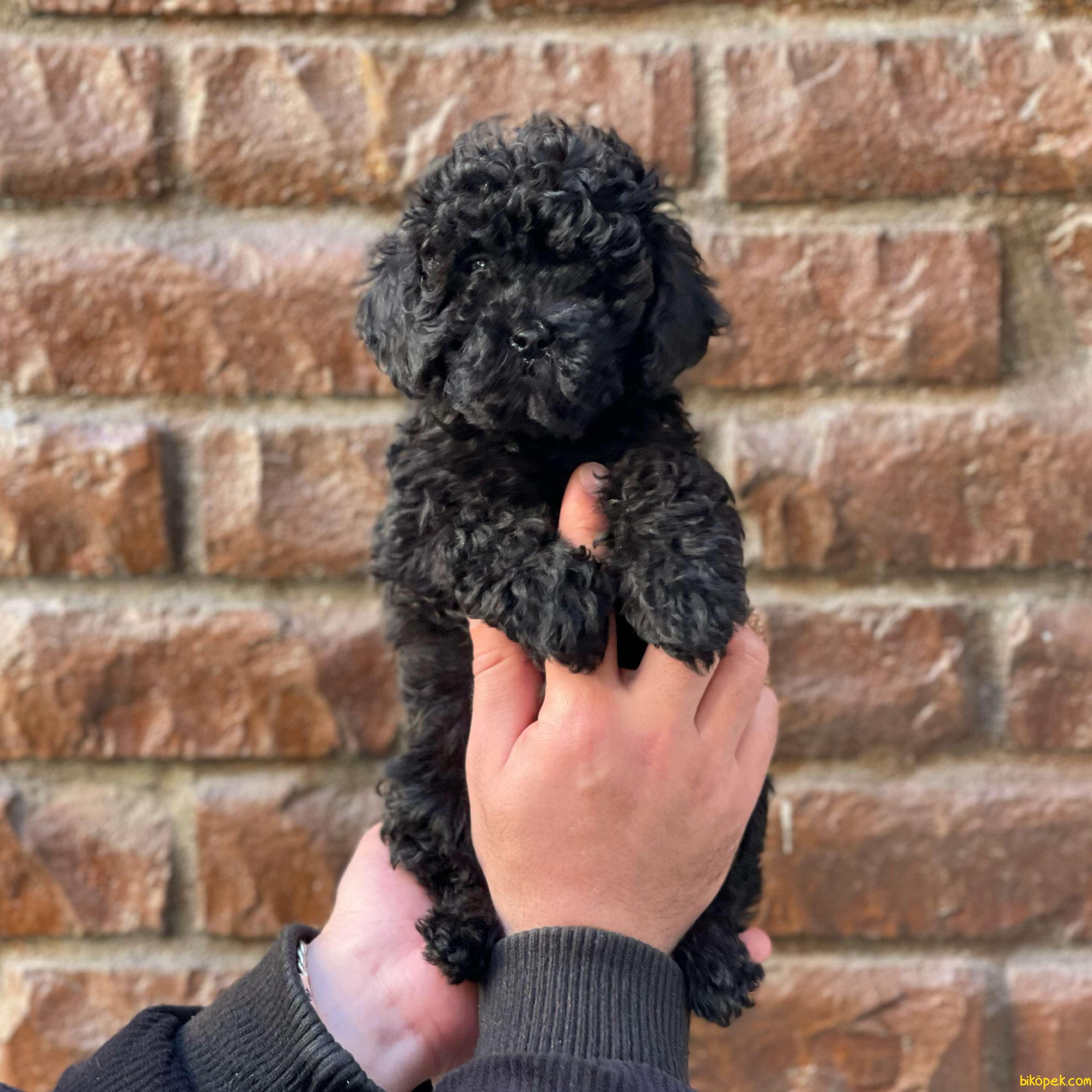 Black Toy Poodle Erkek Yavrularımız 2