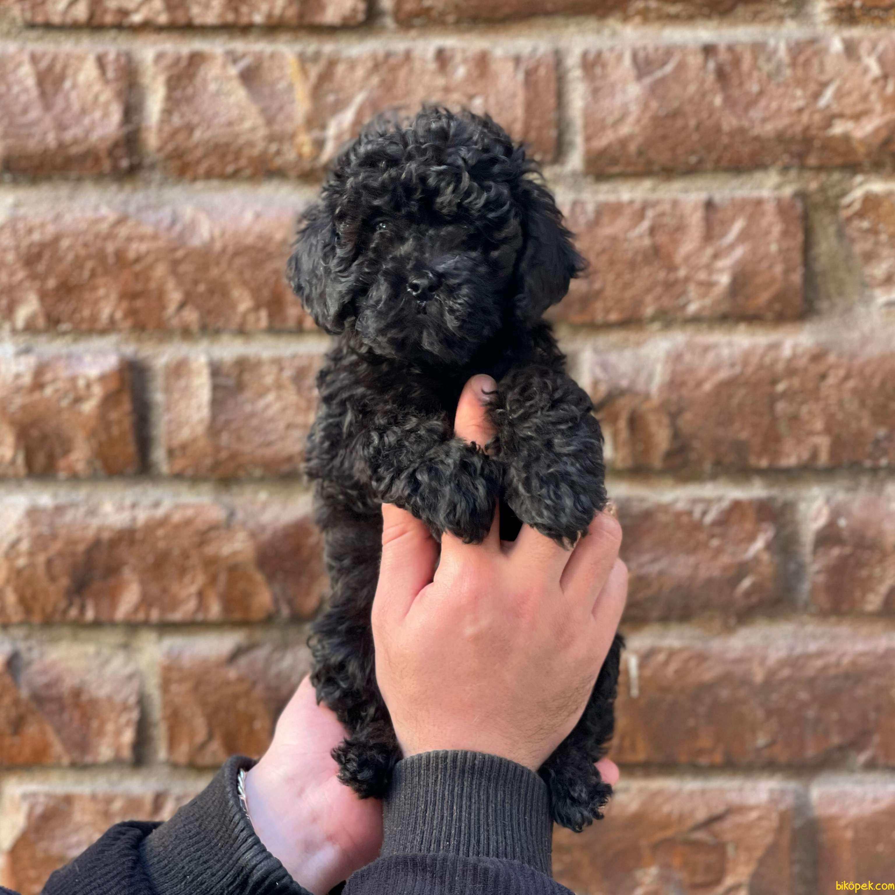 Black Toy Poodle Erkek Yavrularımız 5