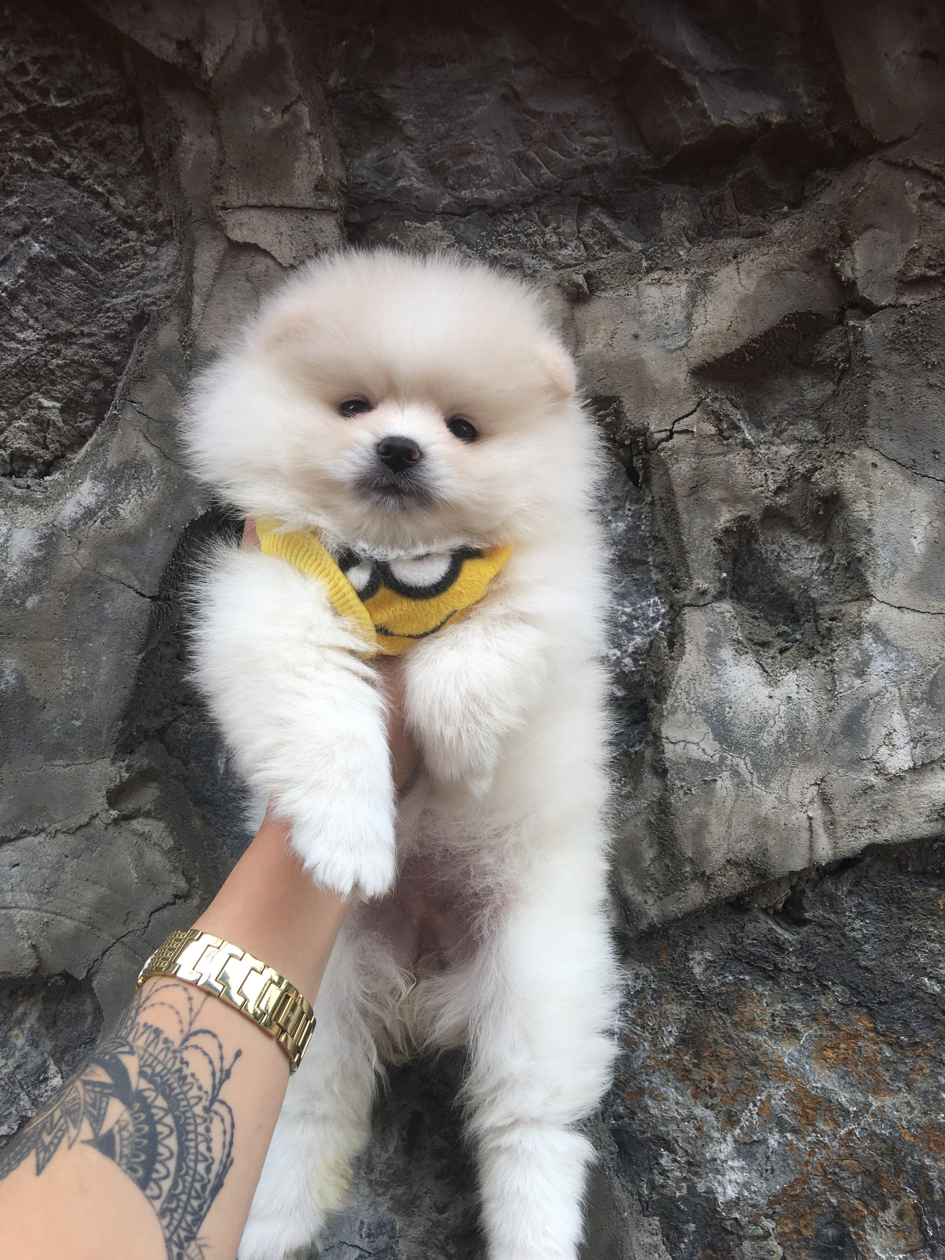 Boo Dog Pomeranian  Ayı Surat Yavrular 2