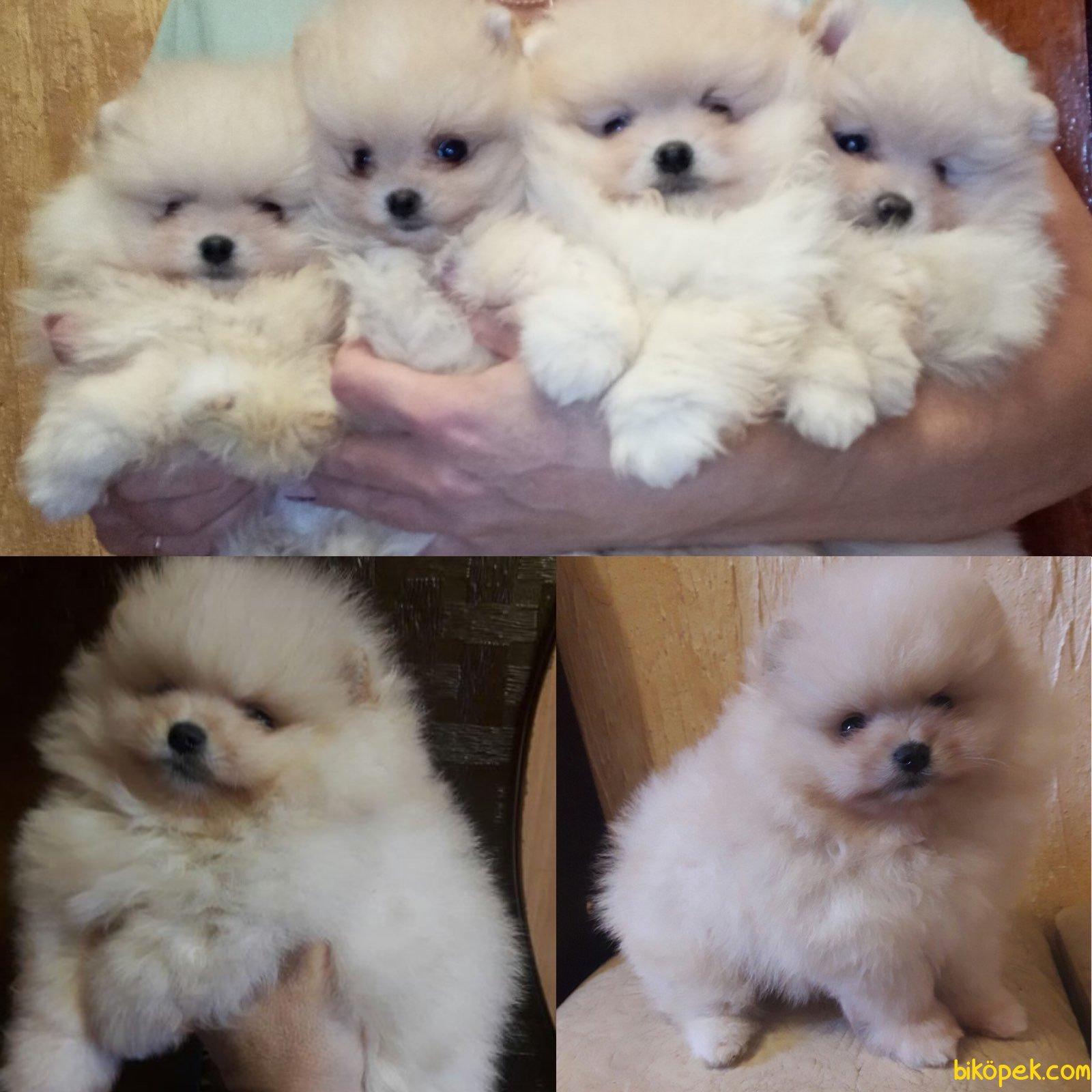 Boo Dog Pomeranian  Ayı Surat Yavrular 1