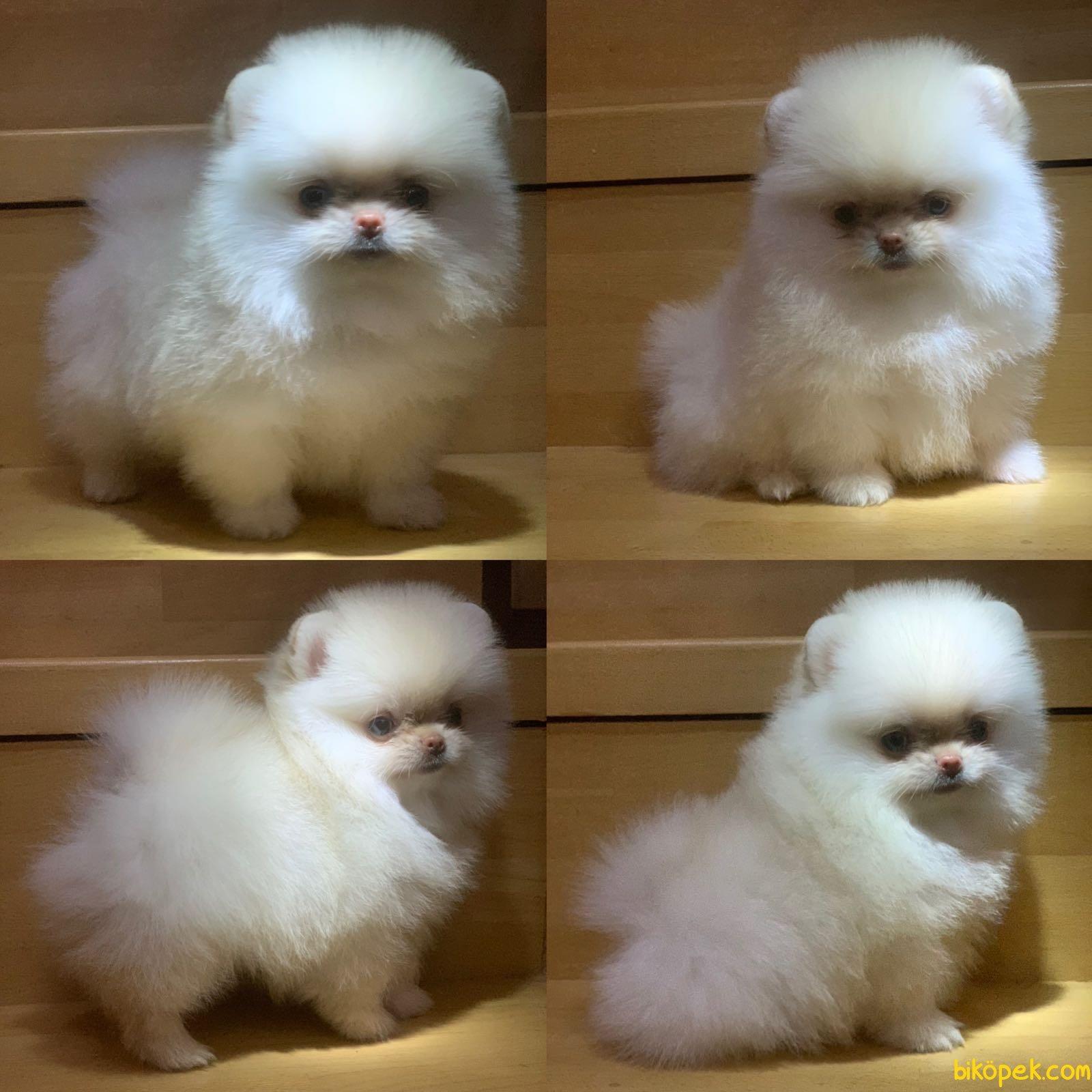 Boo Dog Pomeranian  Ayı Surat Yavrular 3