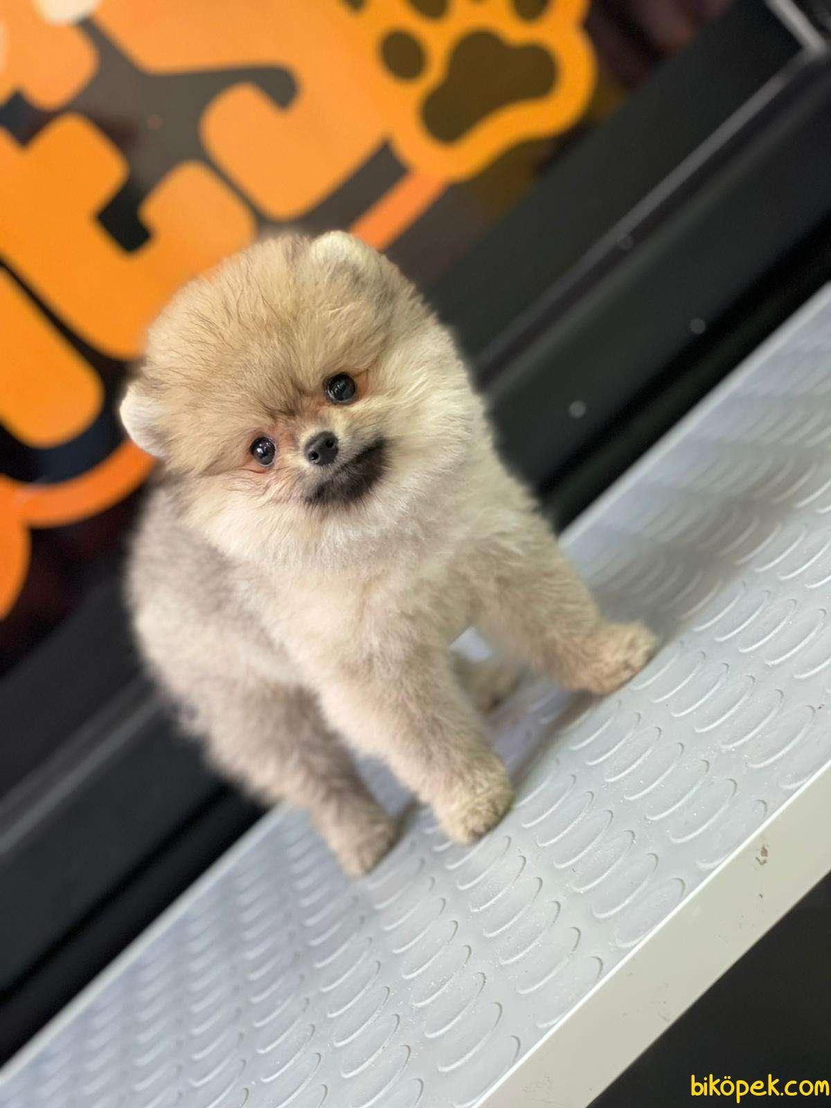 Boo Pomeranian 2