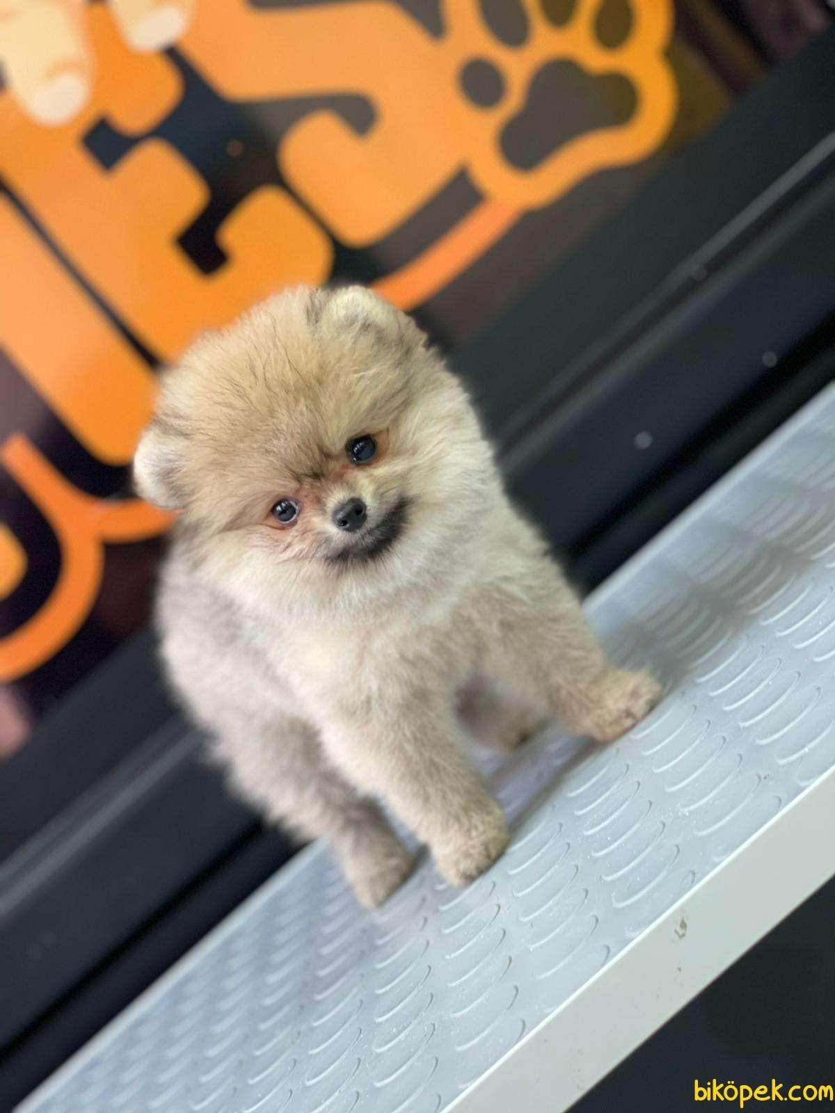 Boo Pomeranian 4