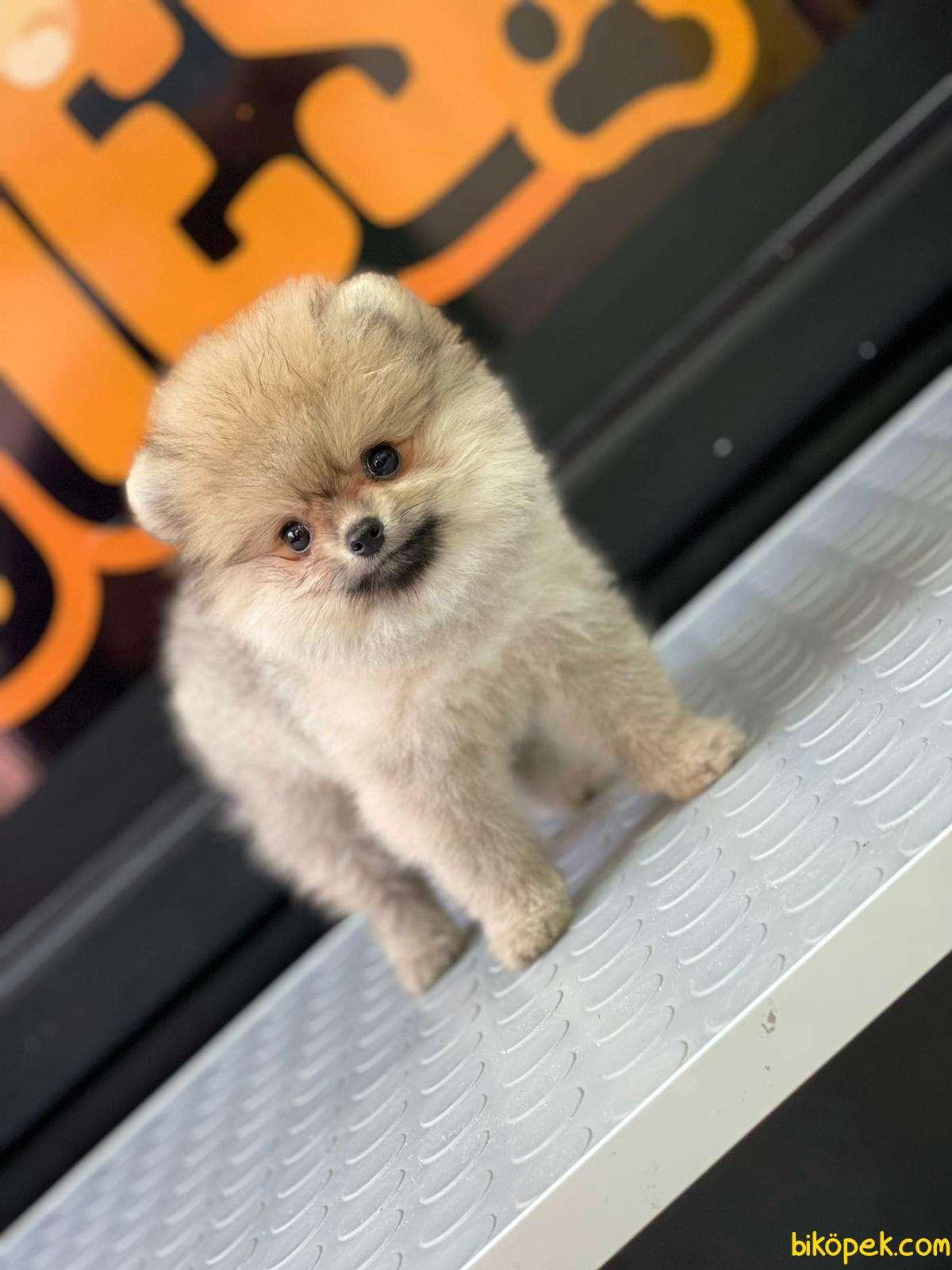Boo Pomeranian 5
