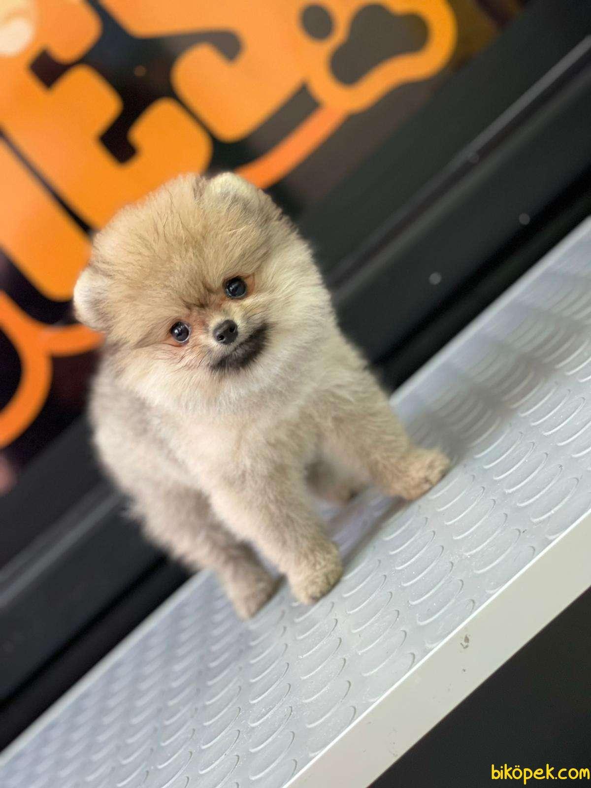 Boo Pomeranian 1