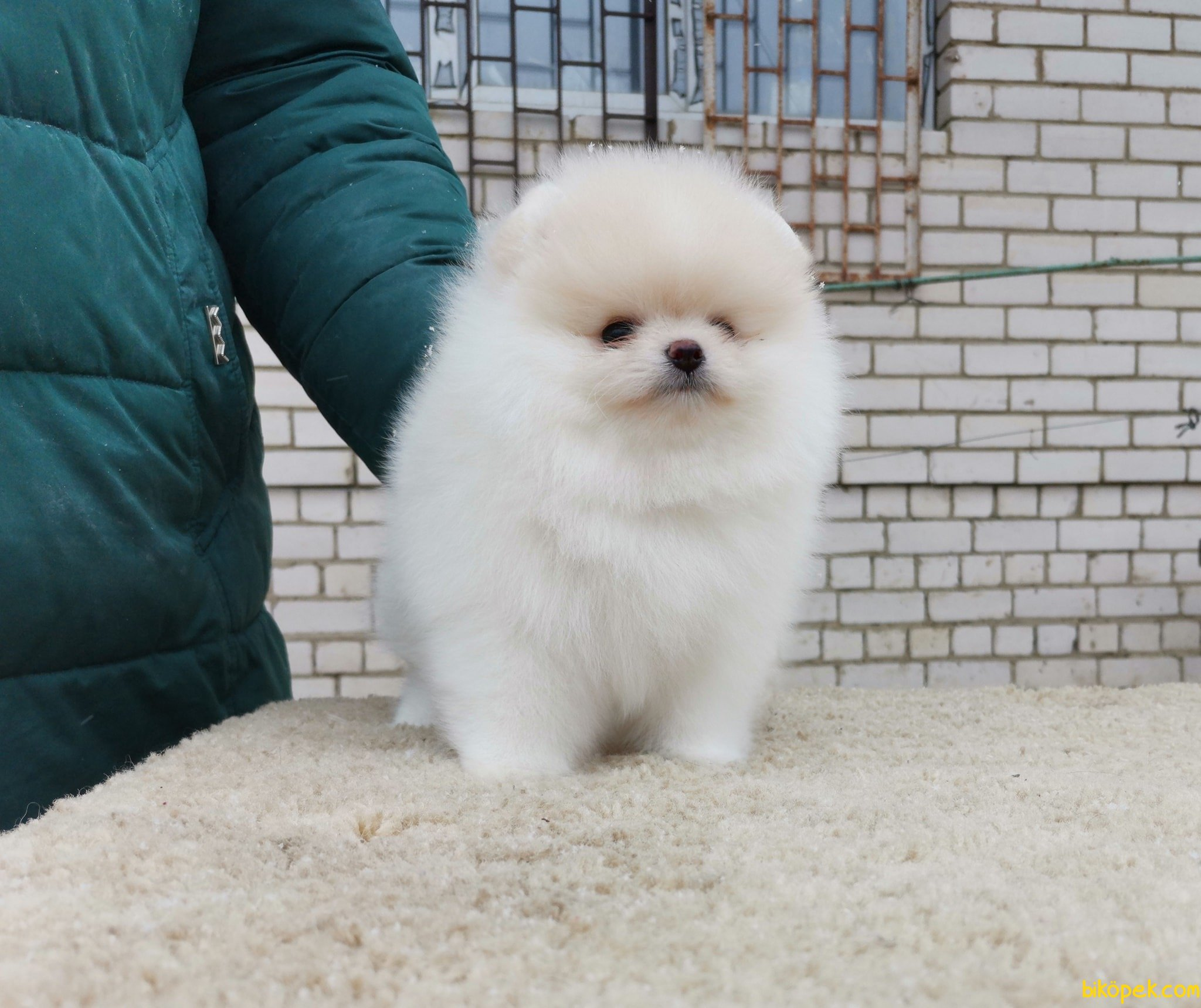 Boo Pomeranian Orjinal Ayı Surat 4