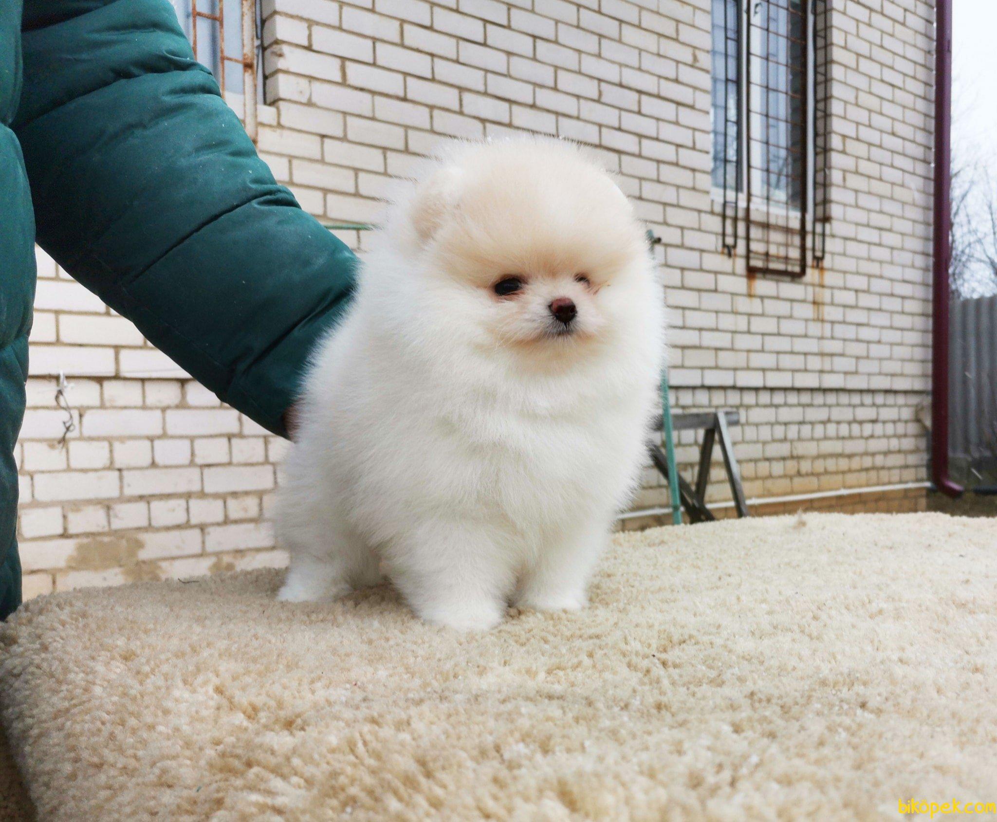 Boo Pomeranian Orjinal Ayı Surat 3