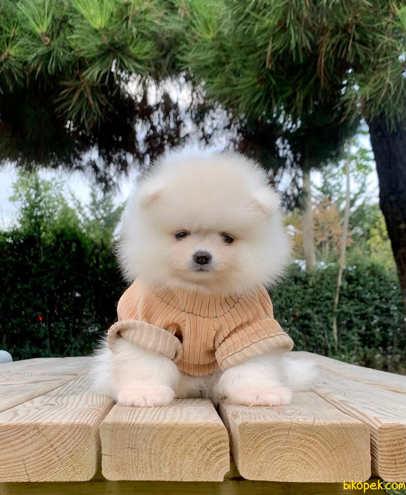 Boo Pomeranian Yavrular 1