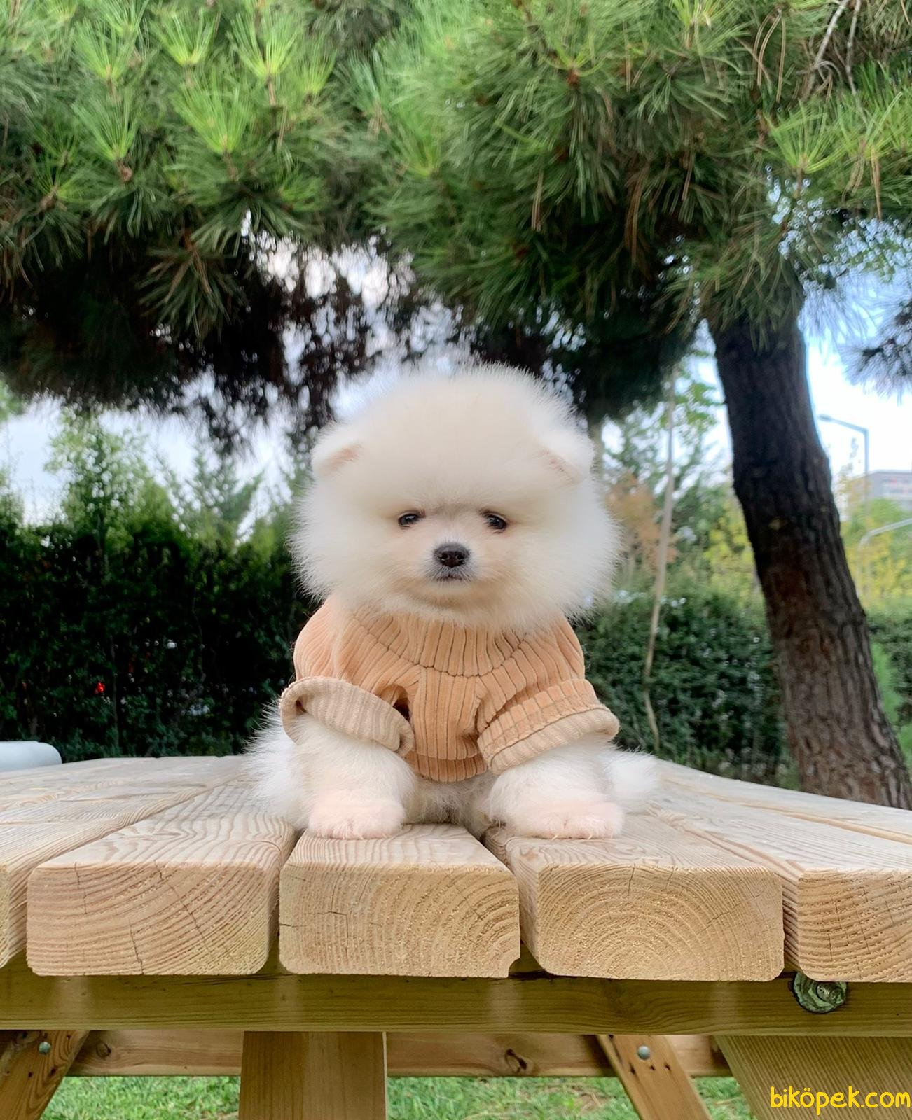 Boo Pomeranian Yavrular 3