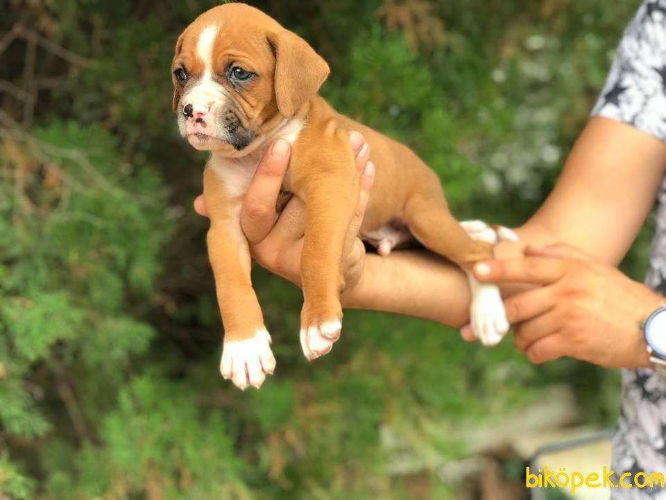 Boxer Yavrularımız 3