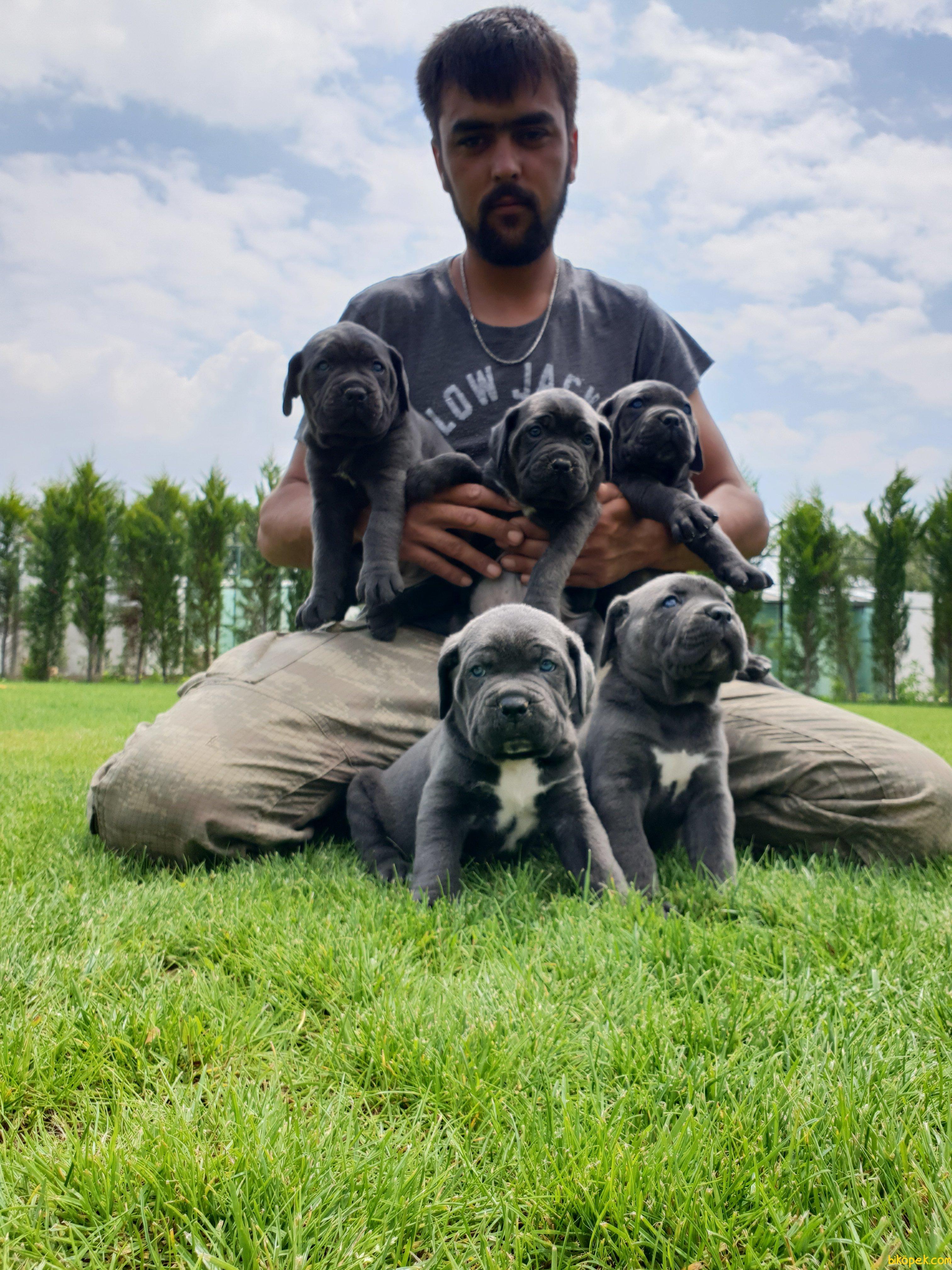 Cane Corsa Alan Koruma Köpeği Yavrularım 2