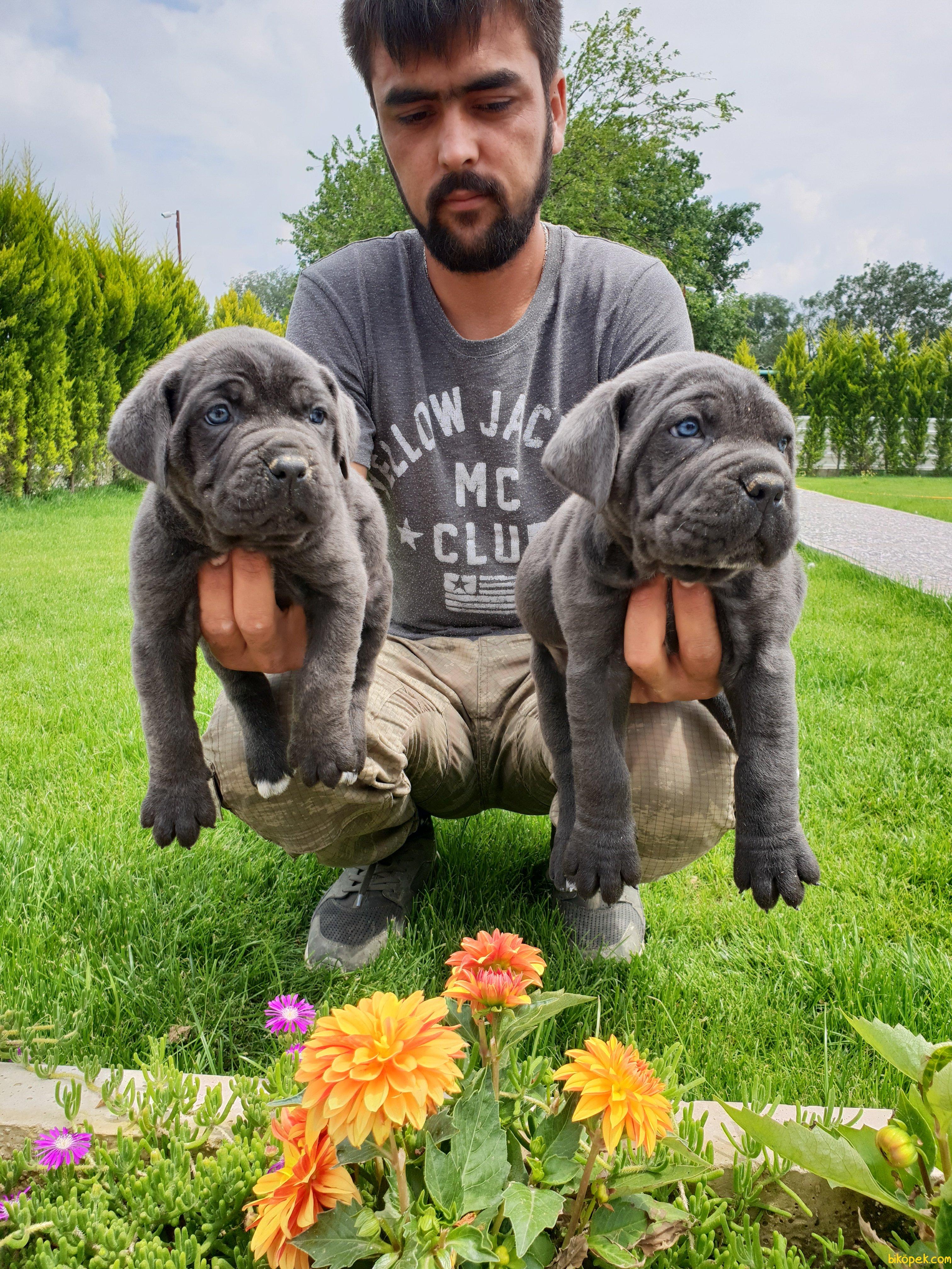Cane Corsa Alan Koruma Köpeği Yavrularım 4