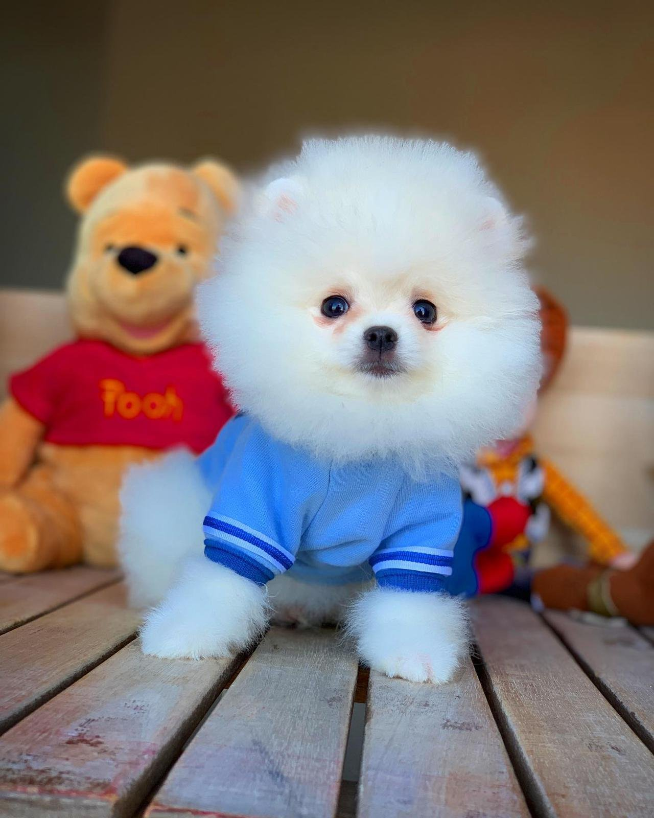 Orjinal  Teddybear Yüz Yapısına Sahip Pomeranianboo 5