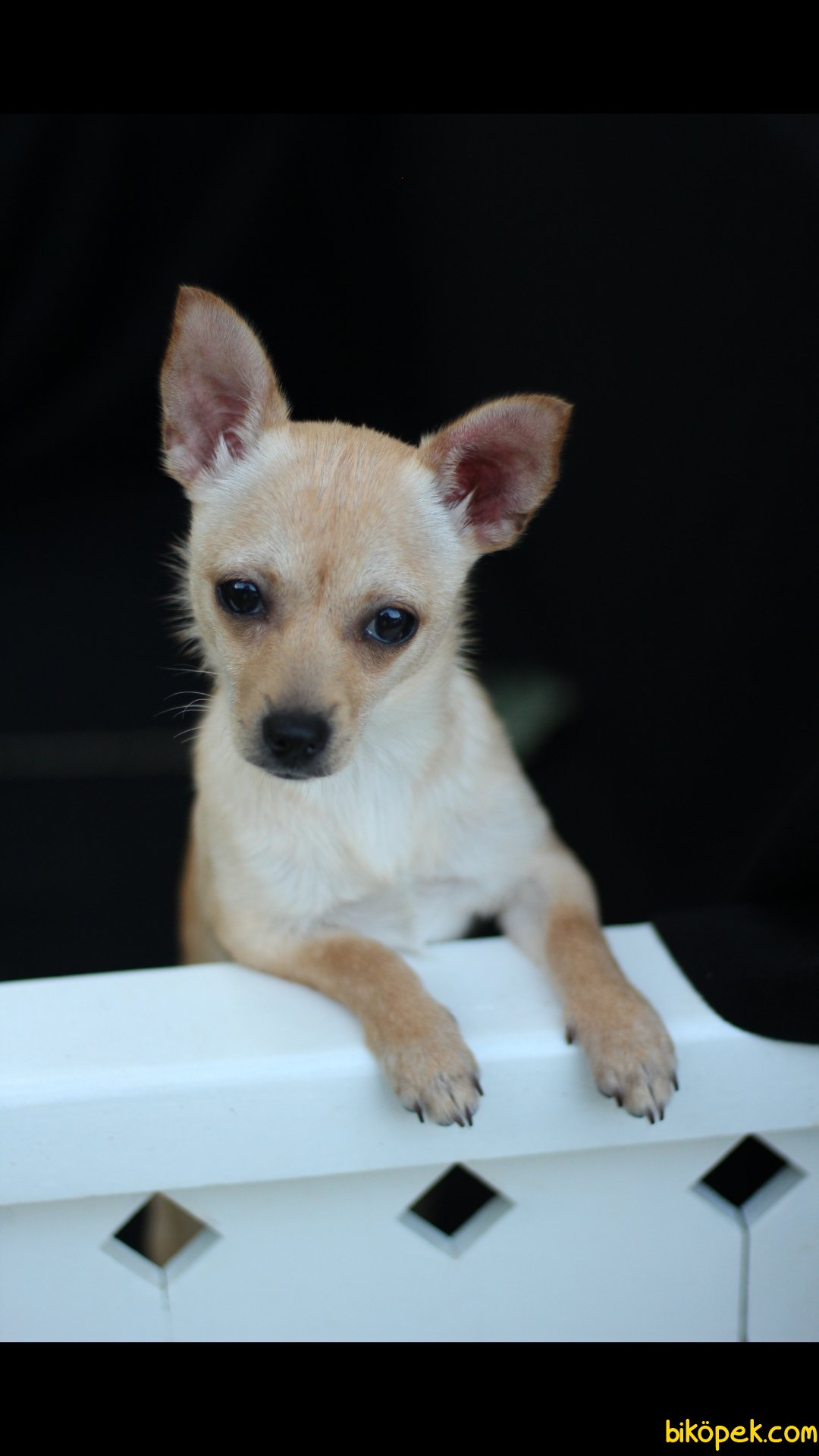 Chihuahua 'Akkuş Üretim Çiftliği' 2