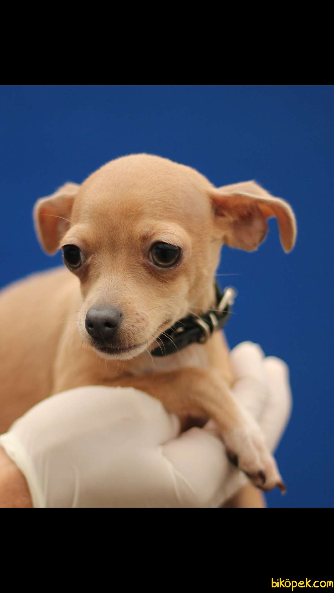 Chihuahua 'Akkuş Üretim Çiftliği' 3