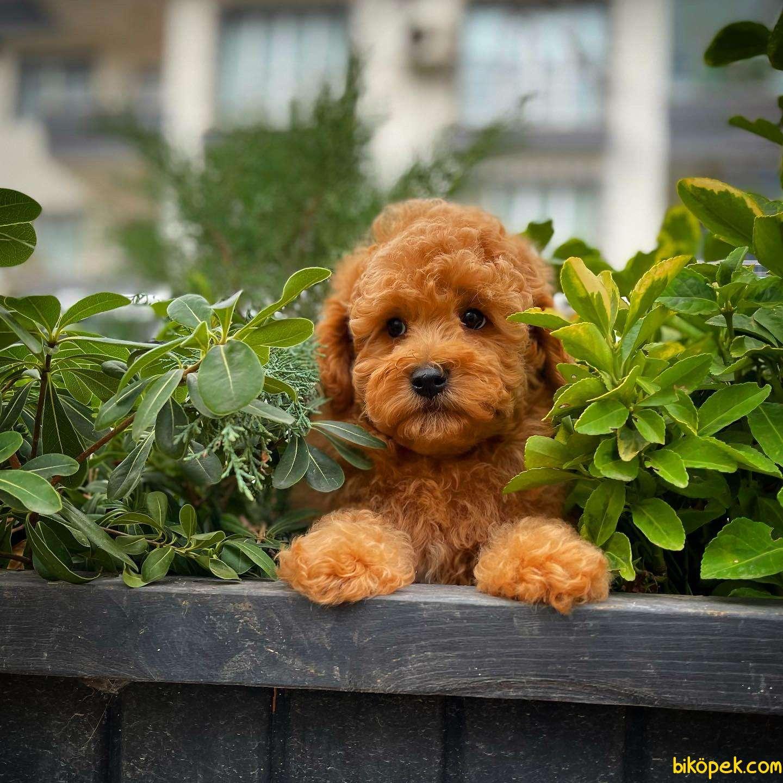 Cocuklarla Anlasabılen En Iyı Irk Toy Poodle Yavrusu 2