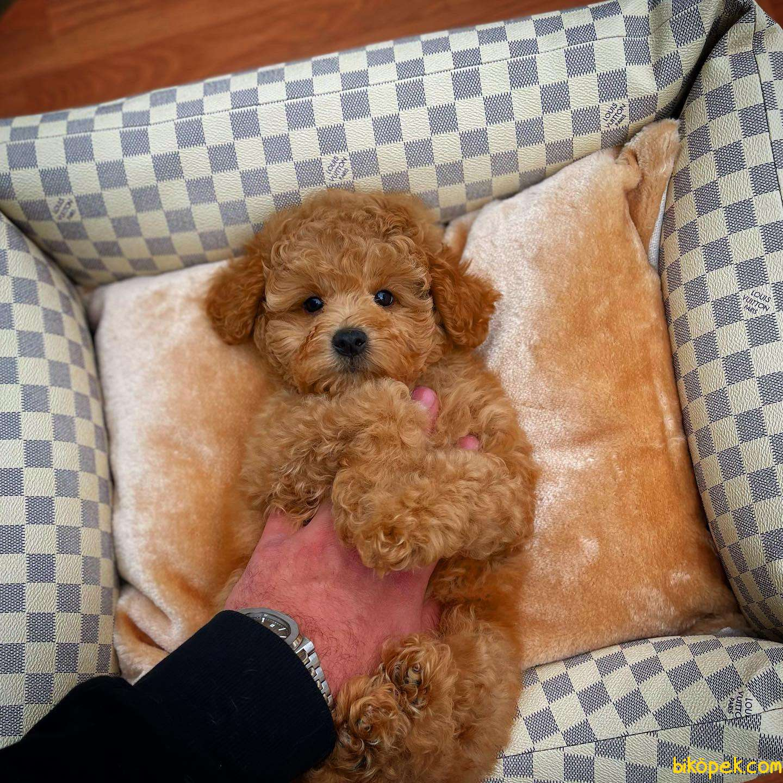 Cocuklarla Anlasabılen En Iyı Irk Toy Poodle Yavrusu 3