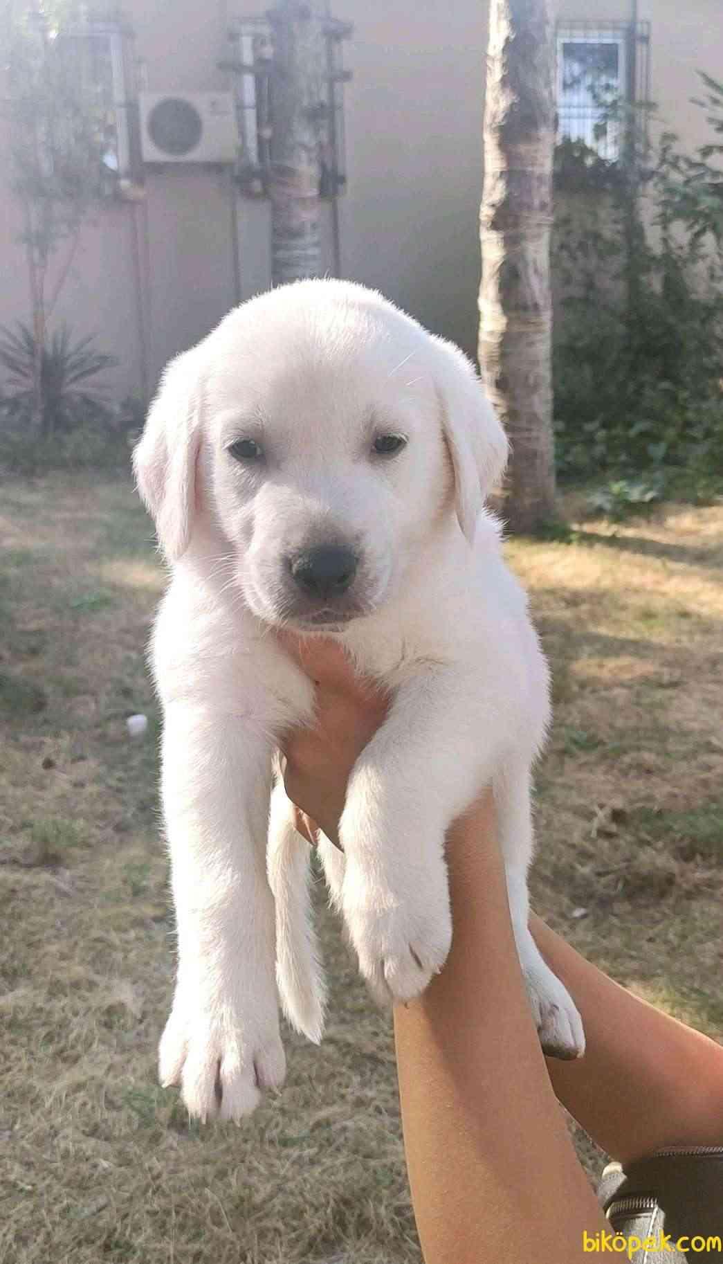 Dişi Bebek Yüzlü Şampanya Rengi Labrador Retriever Yavrular 2
