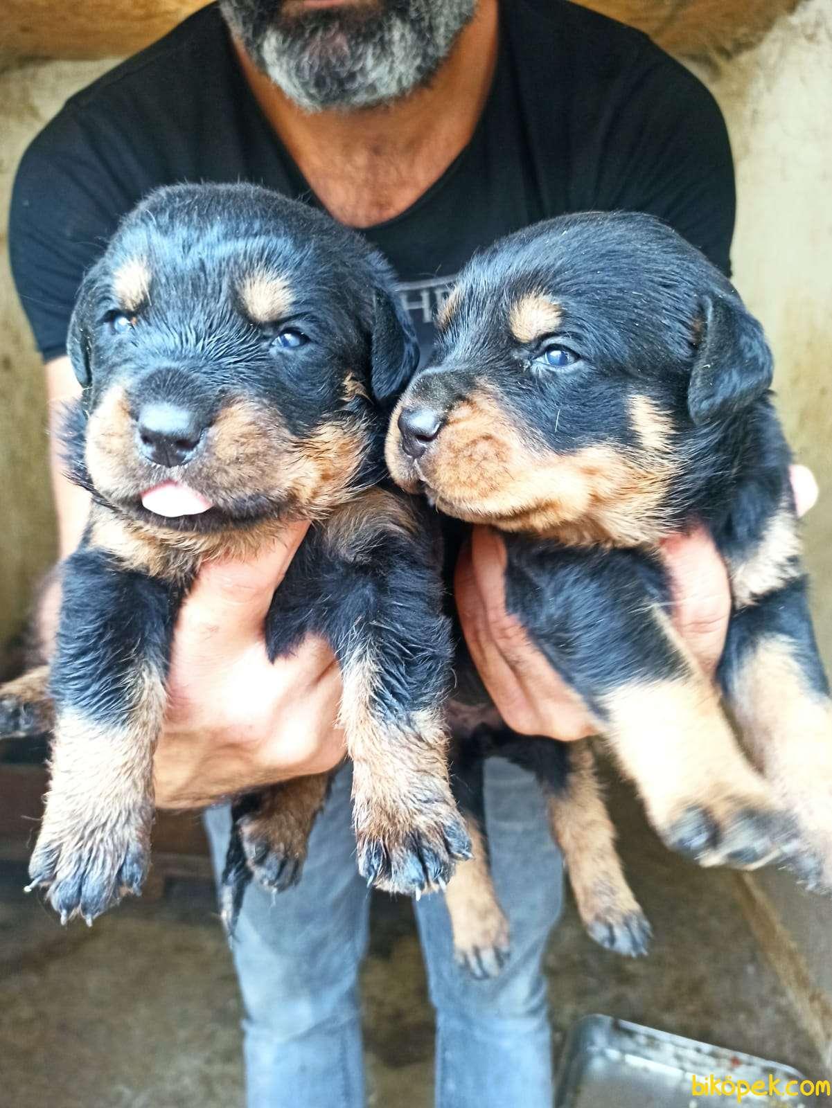 Dişi Irk Garantili Rottweiler Yavrular 3